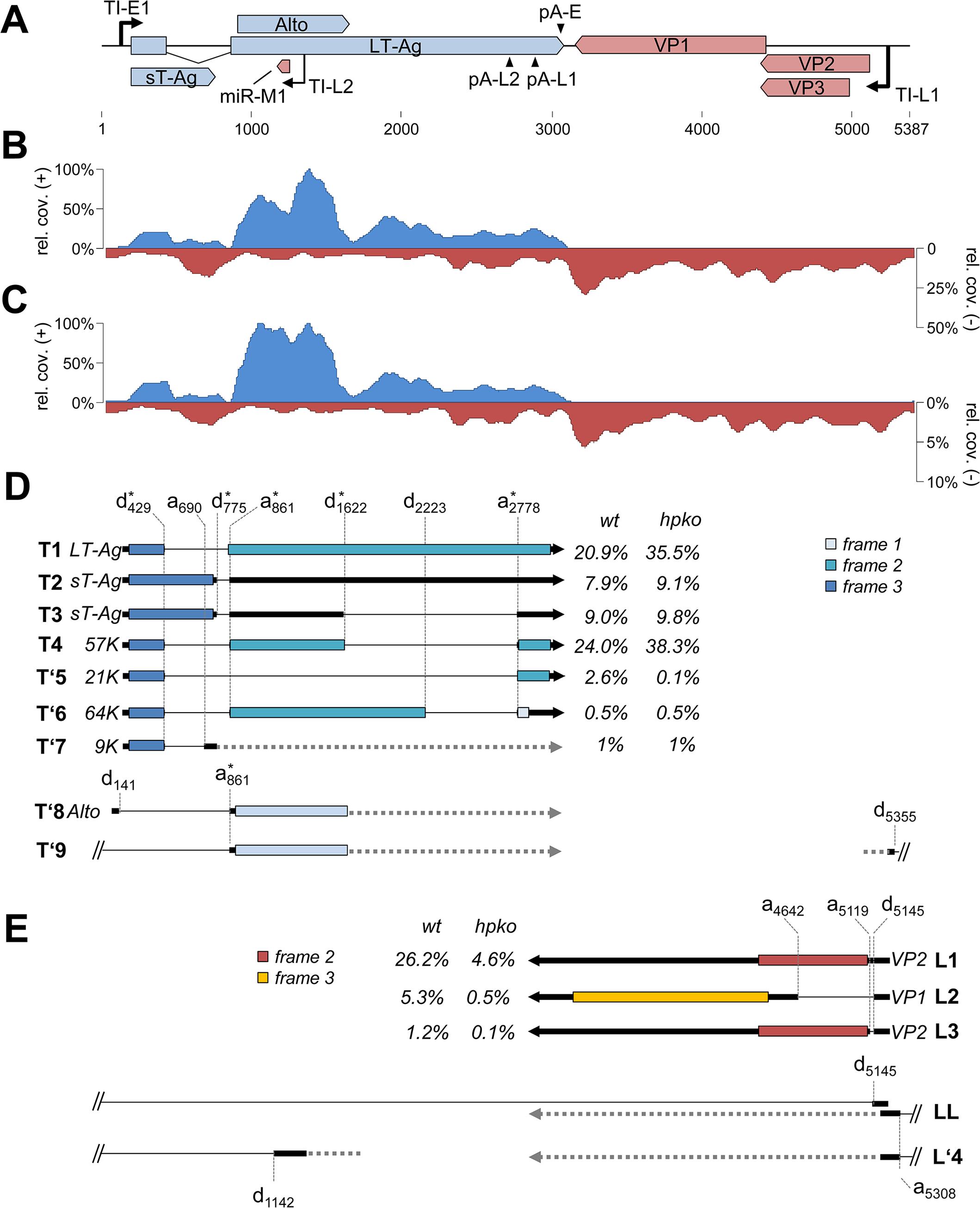 RNA-seq analysis of replicating MCPyV genomes.