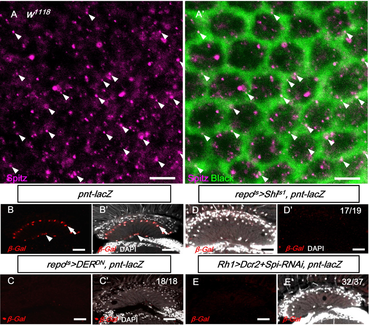 EGFR signaling in the lamina glia is dependent on Spitz from the R1-6 photoreceptors.