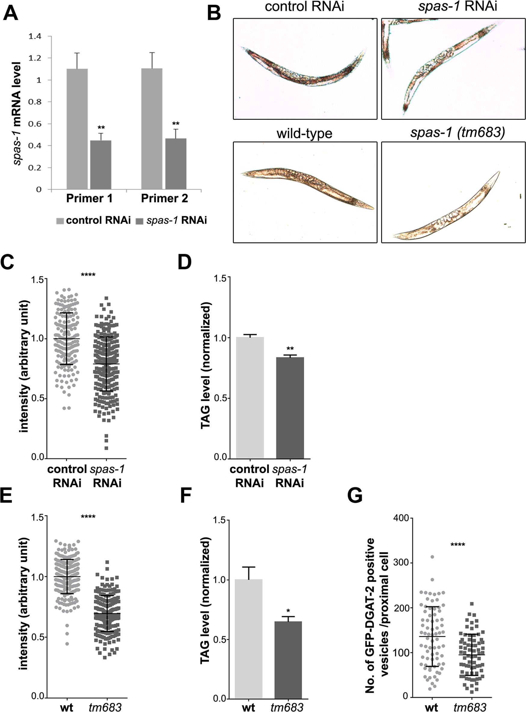 <i>spas-1</i> knockdown or deletion reduces neutral lipids in <i>C</i>. <i>elegans</i>.
