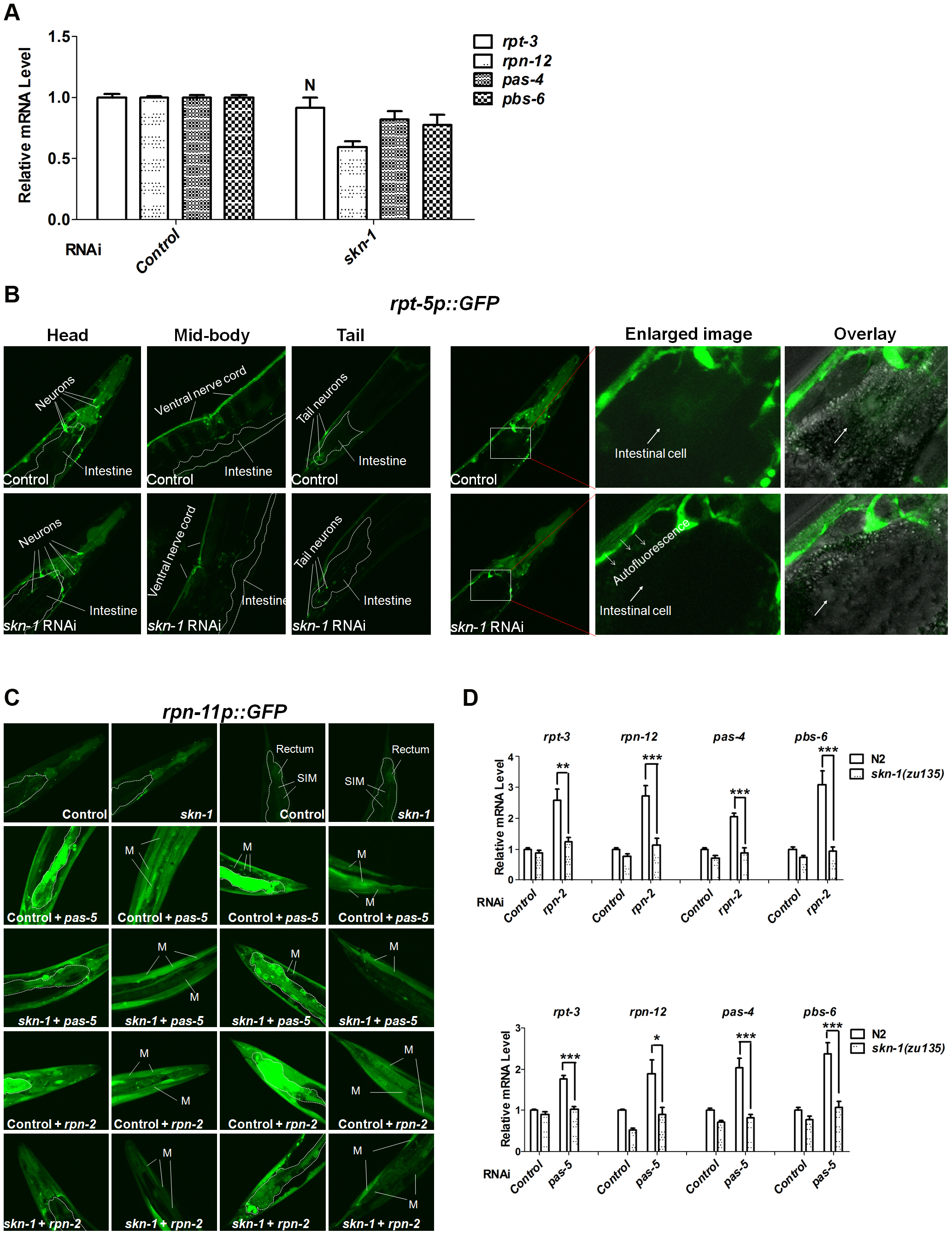 Importance of SKN-1 for the proteasome bounce-back response.