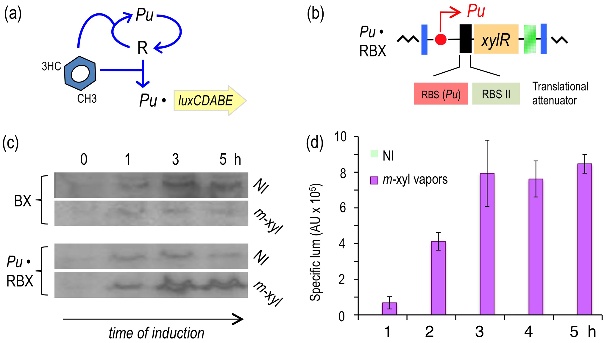 Subjecting expression of XylR to a positive feedback loop (PFL) based on <i>Pu</i>.