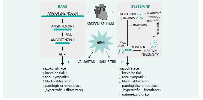 Schéma 3. Mechanizmus působení ARNI
