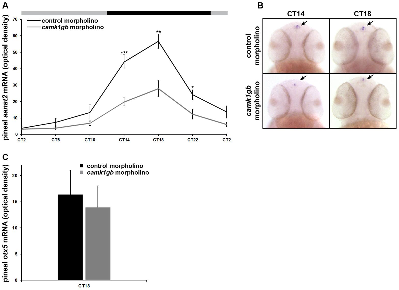 Effect of <i>camk1gb</i> knockdown on pineal <i>aanat2</i> and <i>otx5</i> mRNA rhythms.