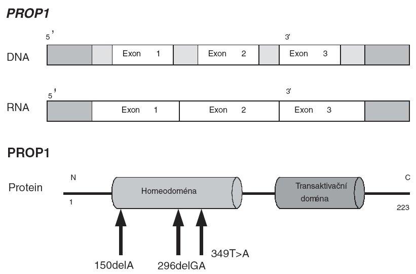 PROP1 gen a PROP1 protein. Šipkami jsou vyznačenymutace popsané v předcházející české studii [13].
