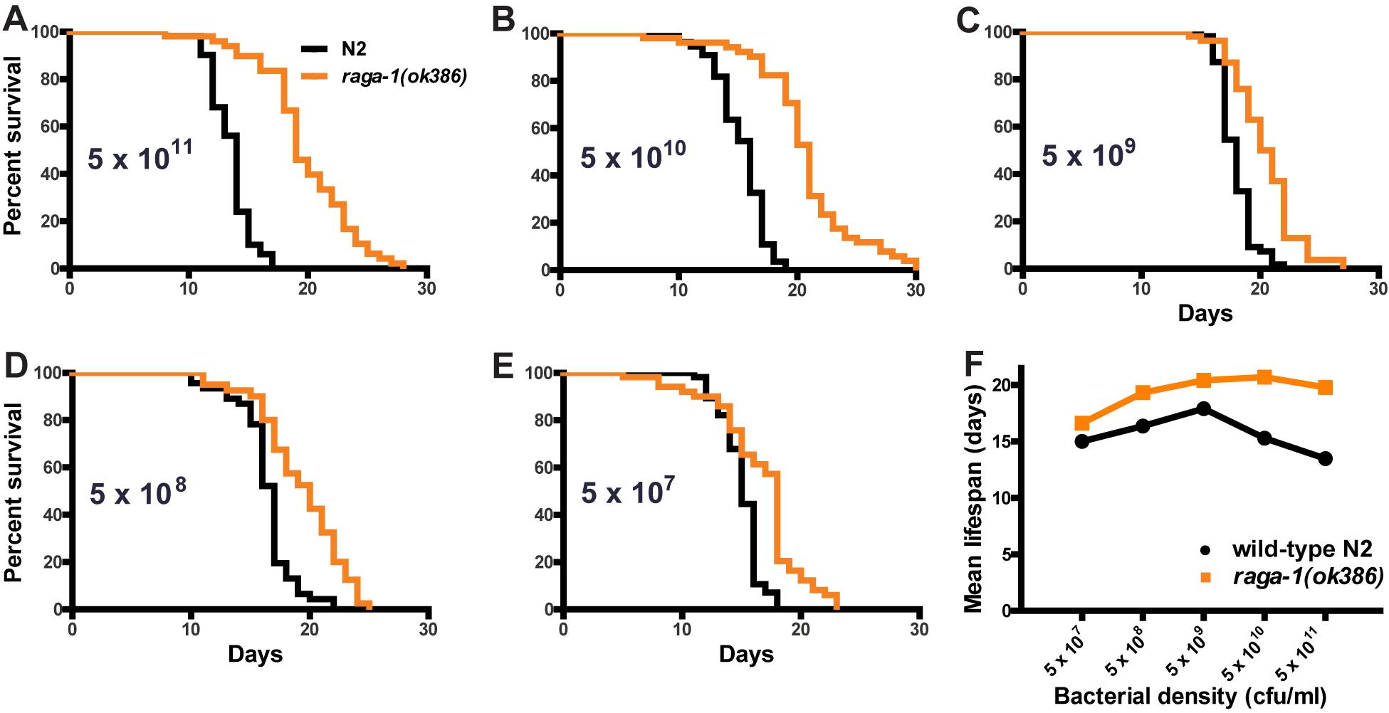 Effect of dietary restriction on <i>raga-1(ok386)</i> lifespan.