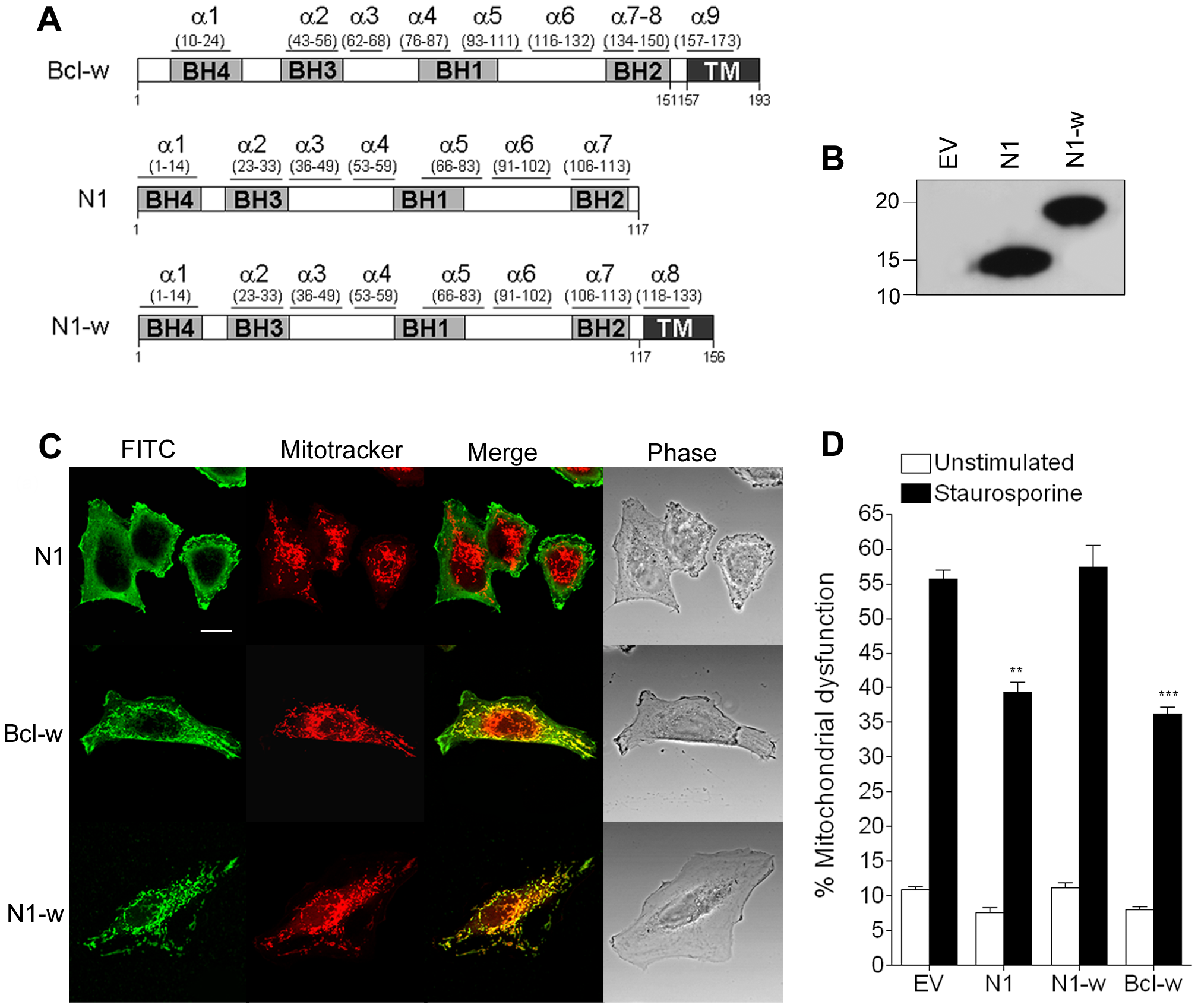 Mitochondrial targeting of N1 abolishes its anti-apoptotic function.
