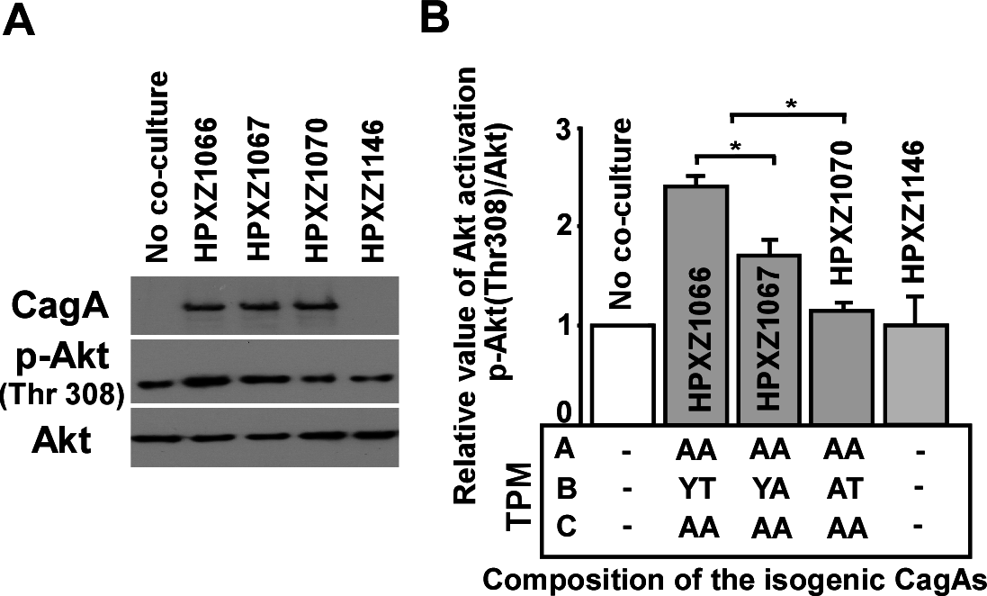 Analysis of the PI3-kinase-AKT pathway after co-culture of human AGS cells with isogenic <i>H. pylori</i> strains containing the engineered CagA molecules.
