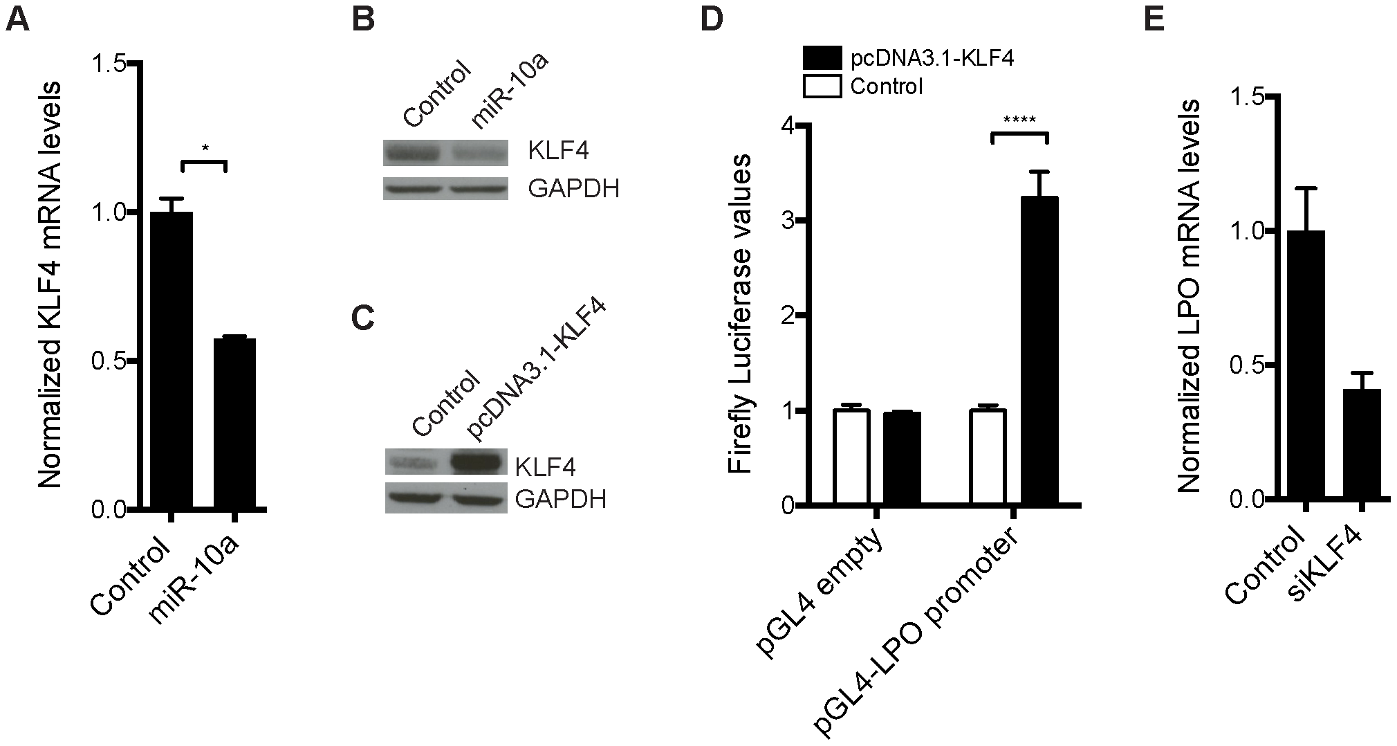 Transcription factor <i>KLF4</i> is regulated by miR-10a and can regulate the <i>LPO</i> promoter <i>in vitro</i>.