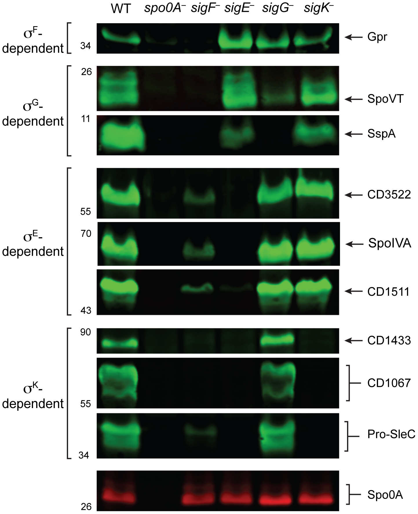 Western blot analyses of proteins encoded by genes induced by specific sigma factors during sporulation.