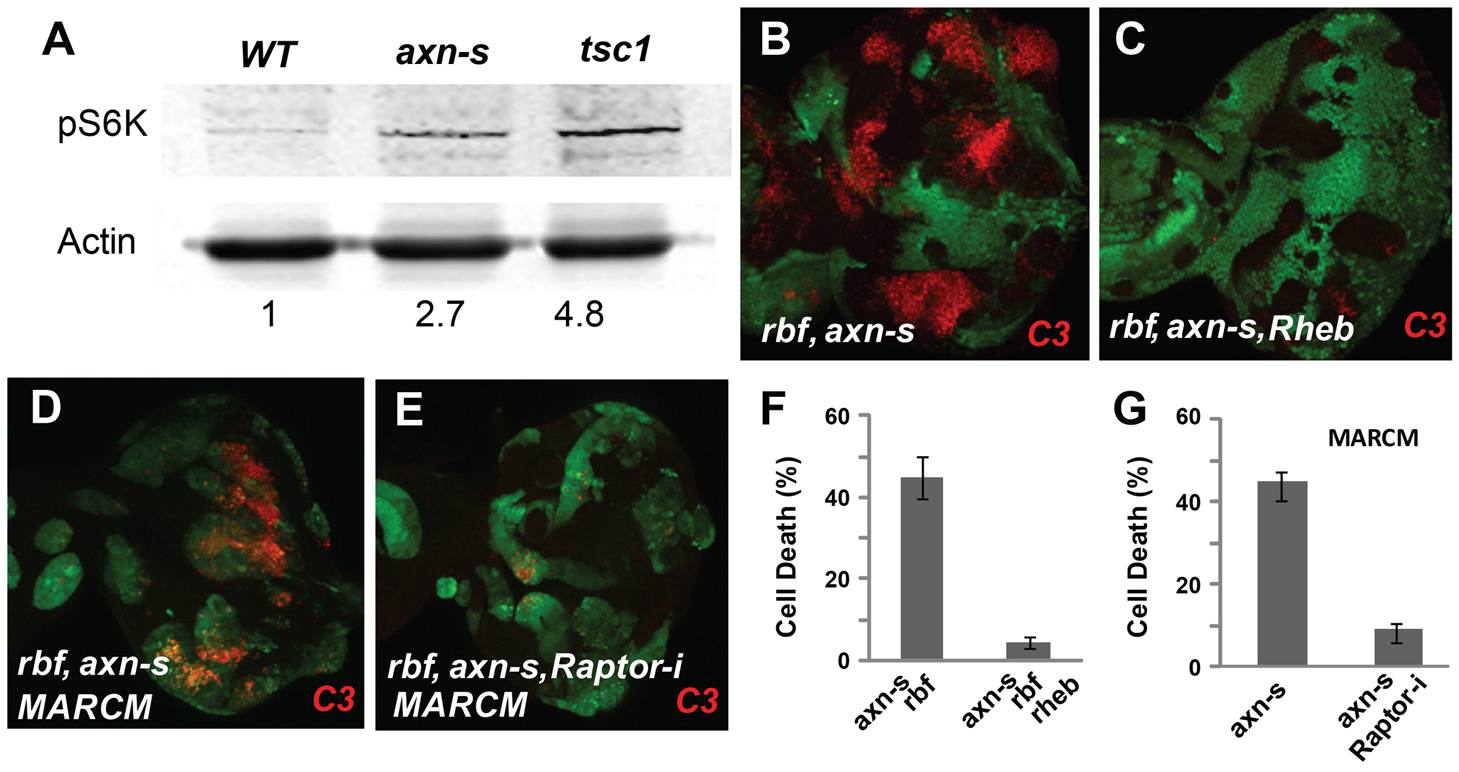 <i>axn rbf</i> synergistic cell death is mediated by deregulation of mTOR activities.