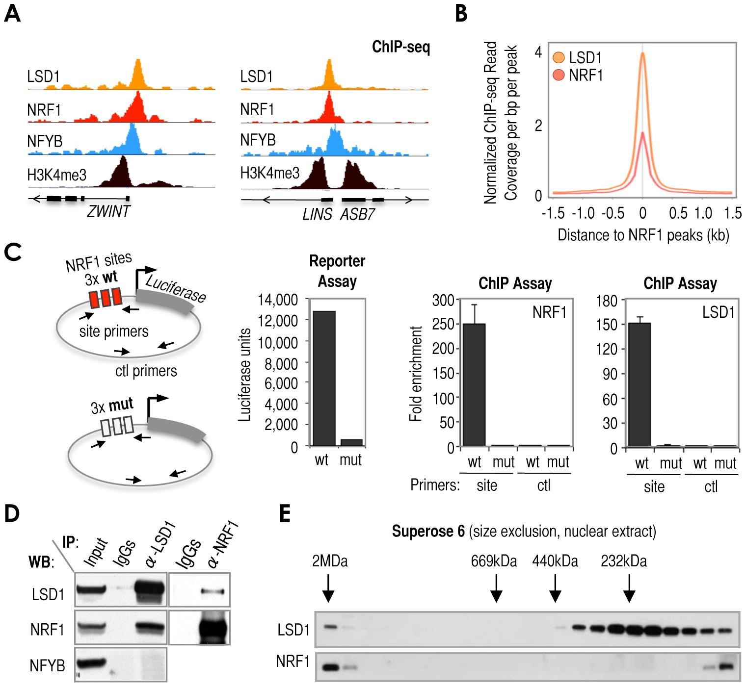 Cardinal motif NRF1 dictates the recruitment of KDM LSD1 via TF NRF1.