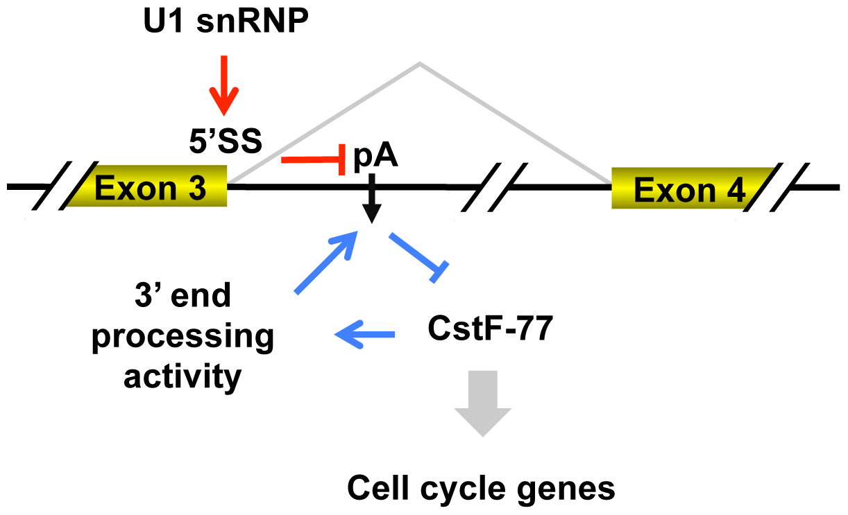 Model for regulation of intronic pA of the CstF-77 gene by 3′ end processing and U1 snRNP, and its impact on expression of cell cycle genes.