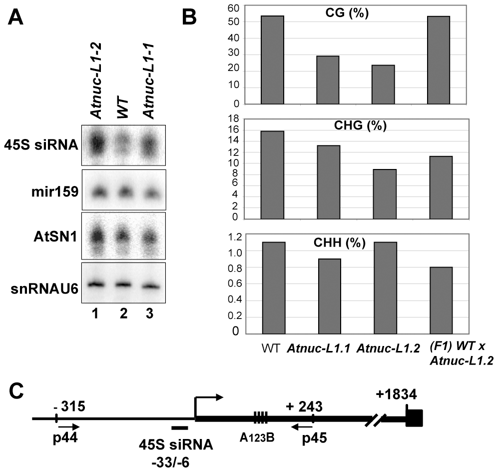 AtNUC-L1 gene disruption induces accumulation of siRNA 45S and rRNA gene hypomethylation on the 5′ETS.