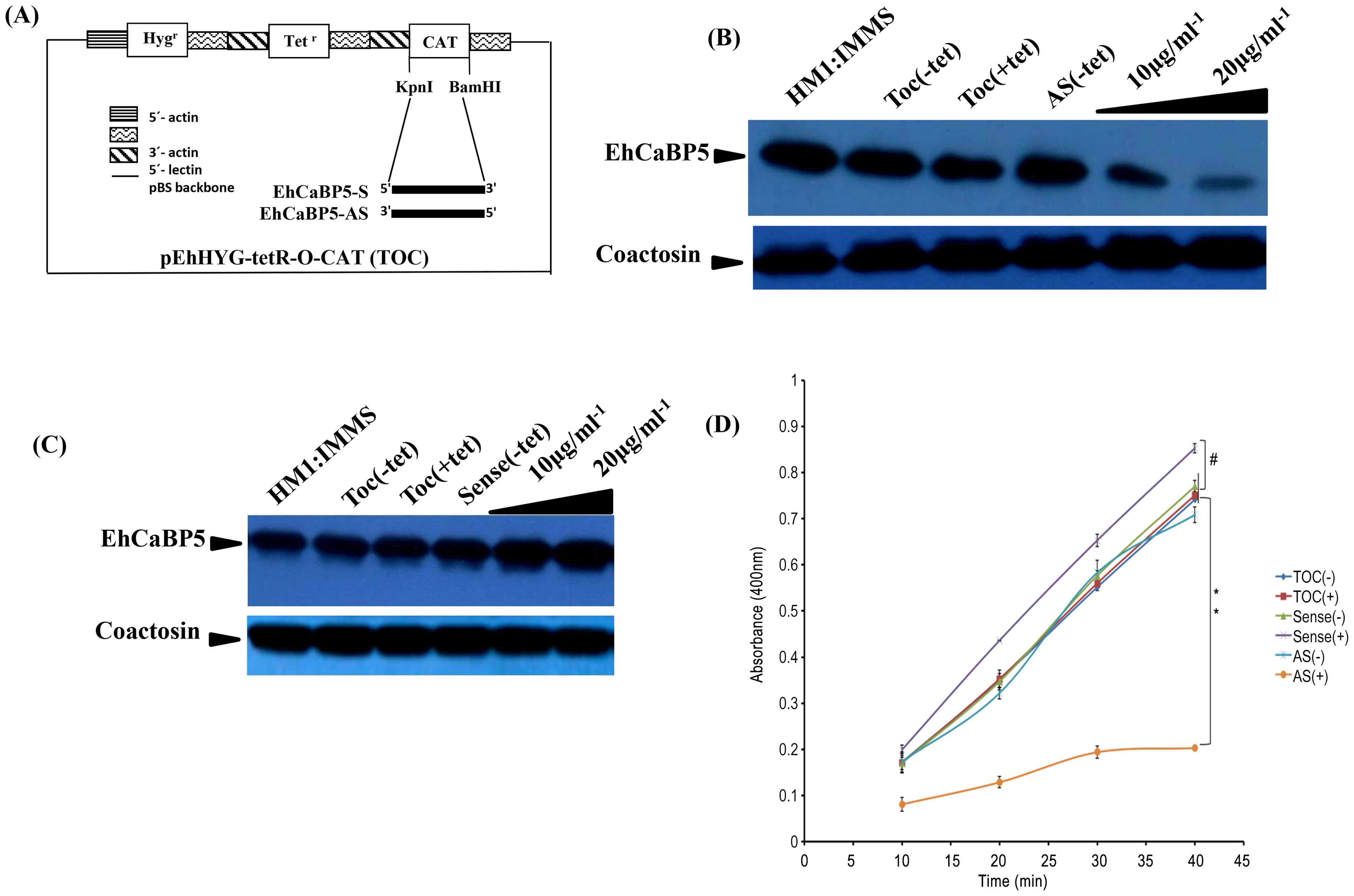 Down regulation of EhCaBP5 reduces the rate of phagocytosis.