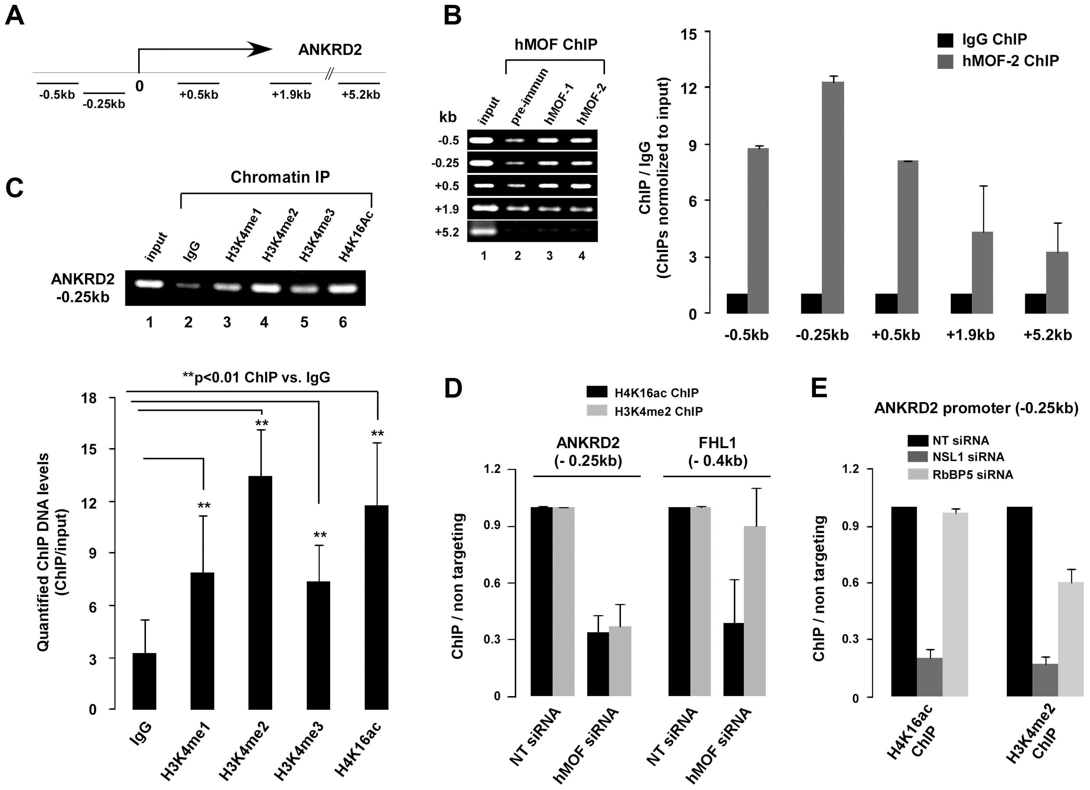 NSL complex is essential for targeting of RbBP5-MLL complex to ANKRD2.