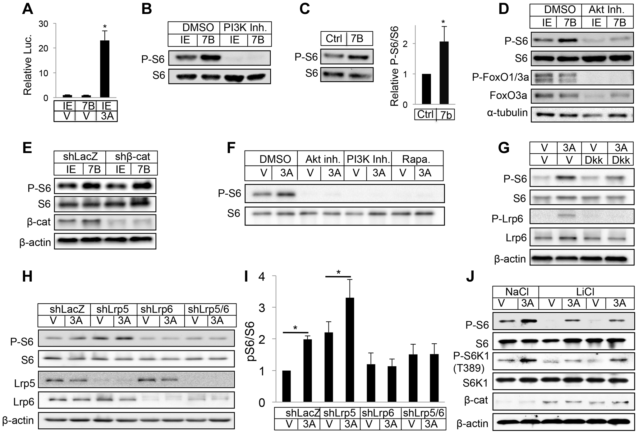 WNT7B and WNT3A activate mTORC1 signaling.