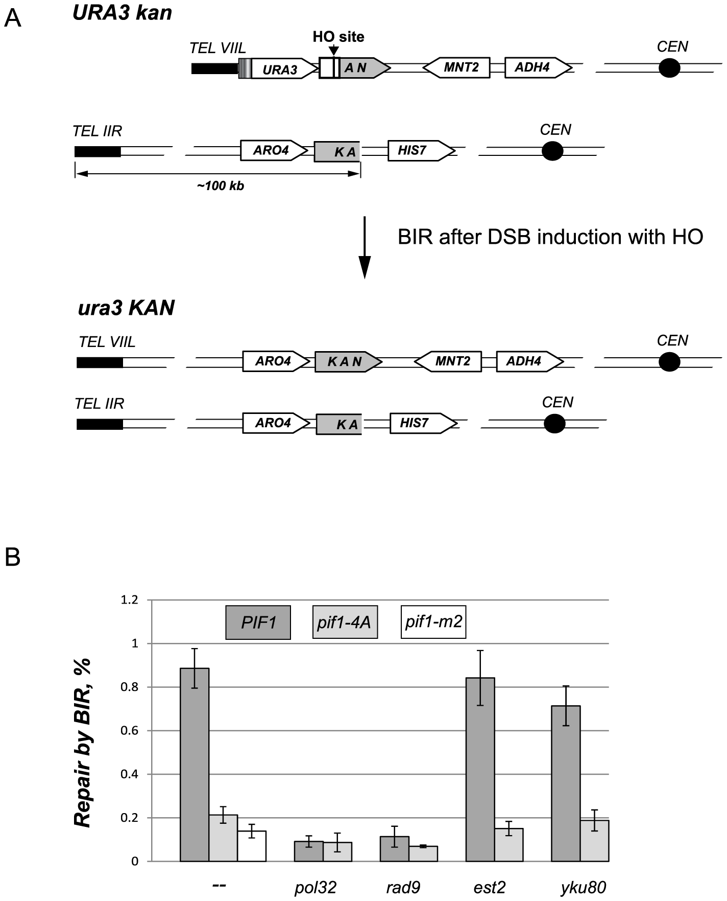 The DNA damage induced phosphorylation of nPif1 is required for BIR.