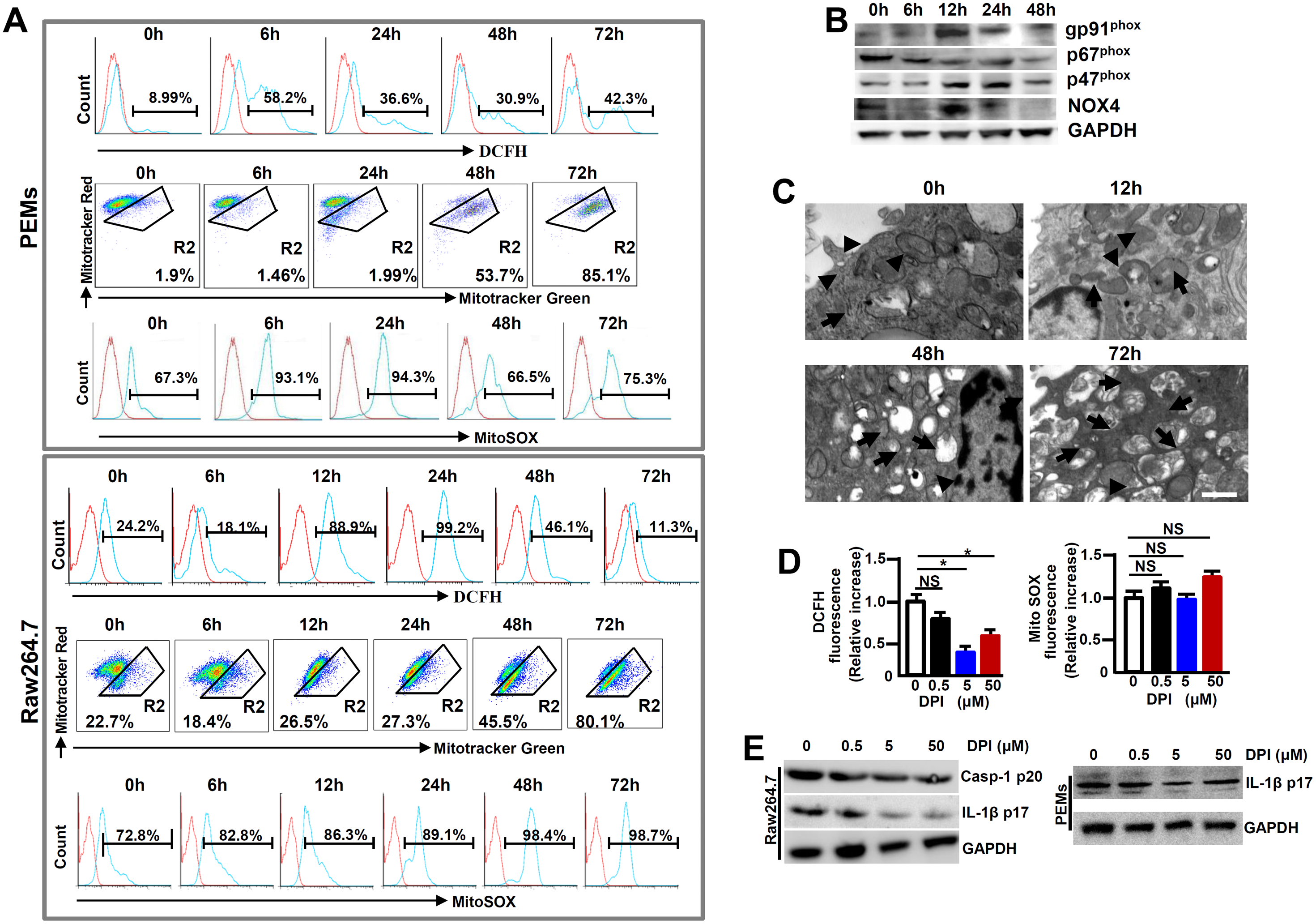 Enhanced ROS in macrophages following MHV-3 infection.