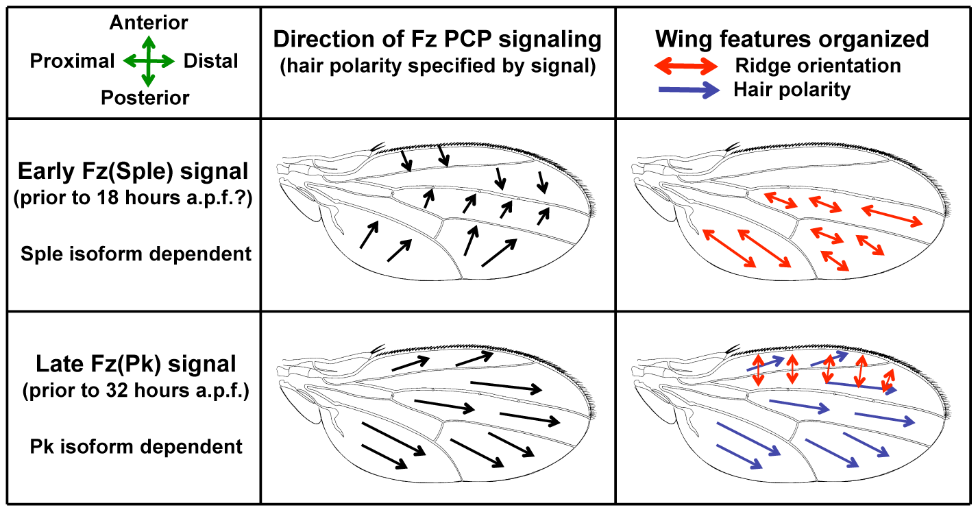 A Bidirectional-Biphasic (Bid-Bip) model for Fz PCP signaling in the <i>Drosophila</i> wing.