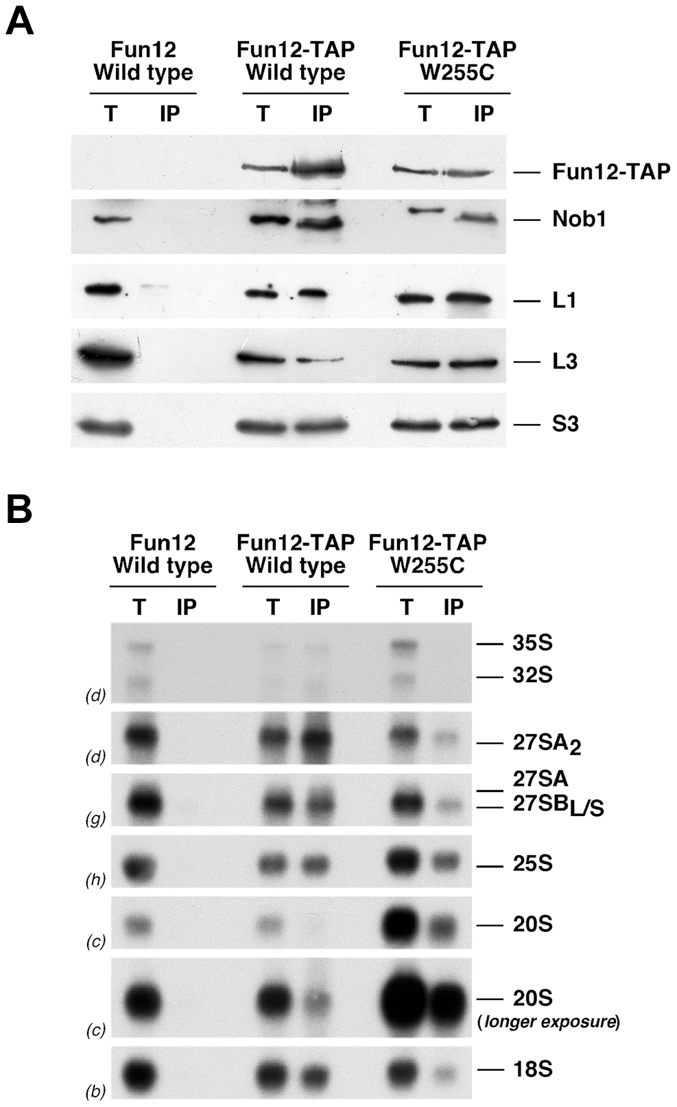 The <i>rpl3</i>[W255C] mutation does not significantly impair the association of Fun12 to pre-40S ribosomal particles and mature 60S ribosomal subunits.