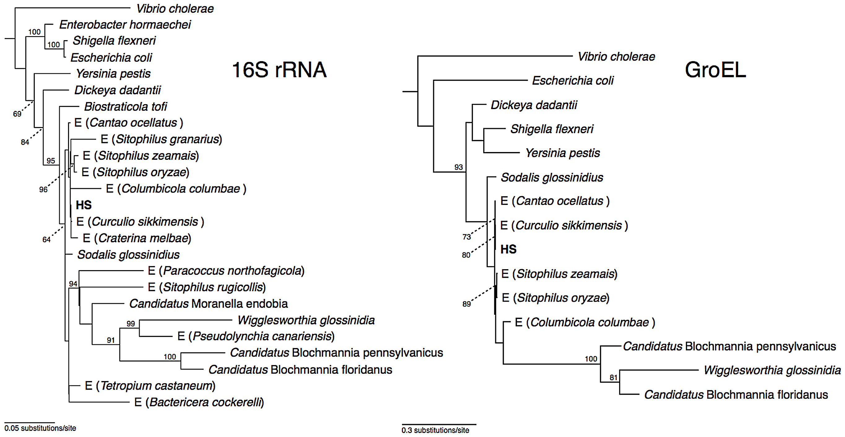 Phylogeny of strain HS and related <i>Sodalis</i>-allied endosymbionts and free-living bacteria based on maximum likelihood analyses of a 1.46 kb fragment of 16S rRNA and a 1.68 kb fragment of <i>groEL</i>.