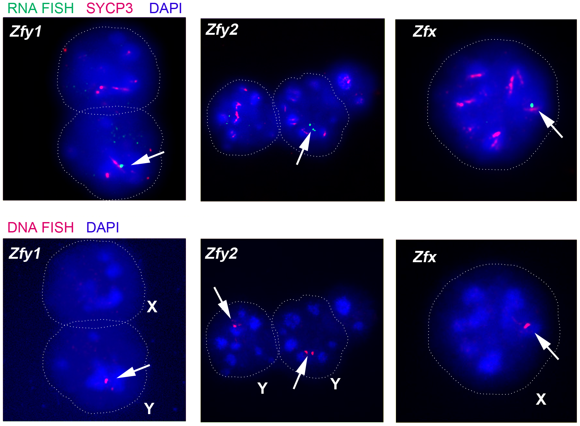 The mouse <i>Zfy</i> and <i>Zfx</i> genes are transcribed in interphasic secondary spermatocytes.