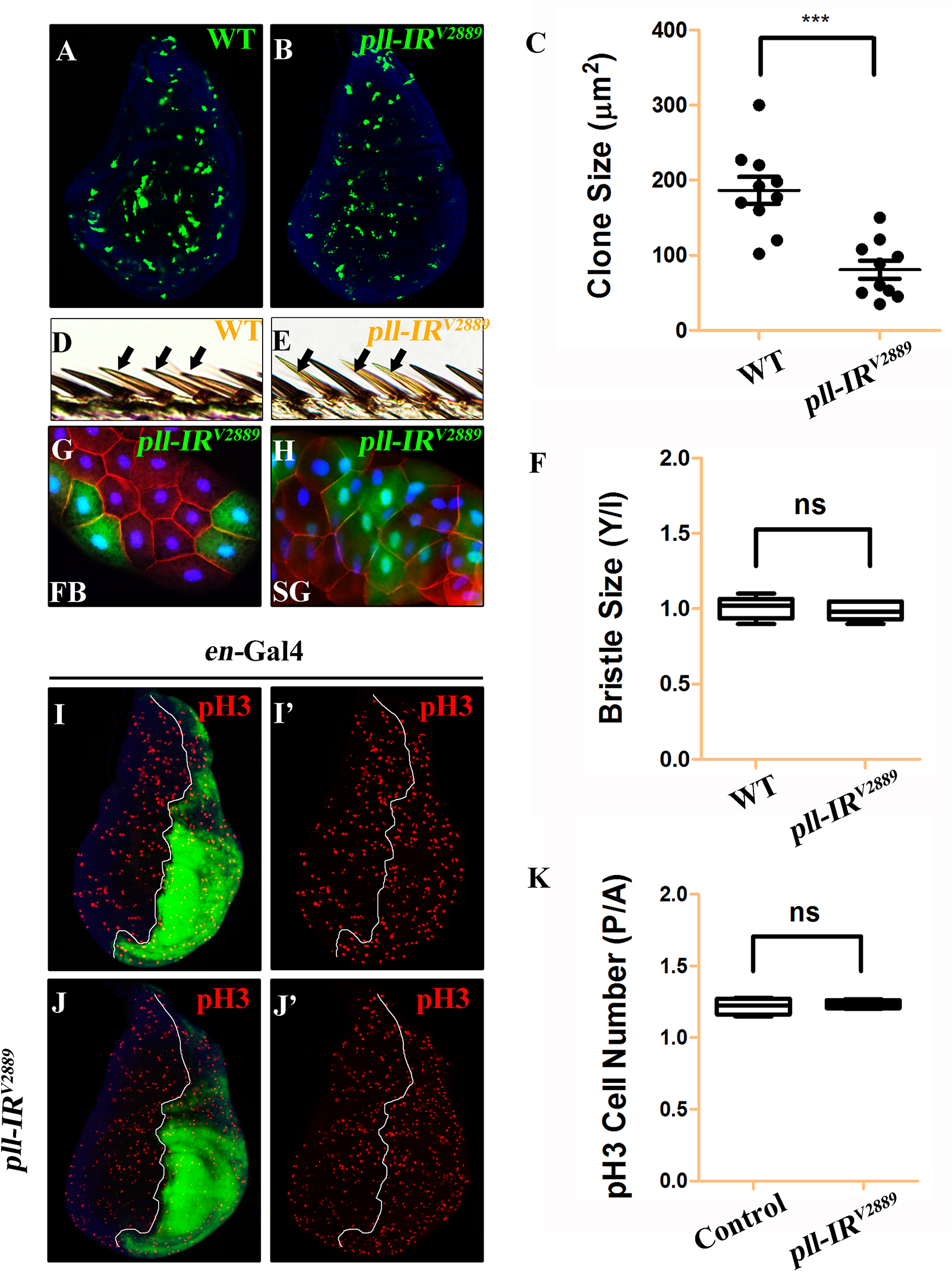 <i>pll</i> regulates cell number but not cell size in development.