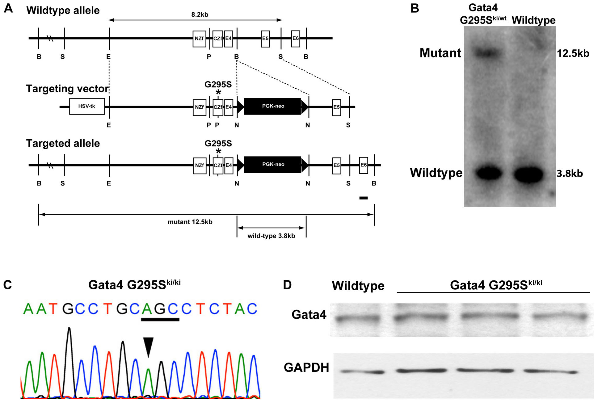 Targeting strategy for generation of <i>Gata4 G295S</i> knock-in mice.