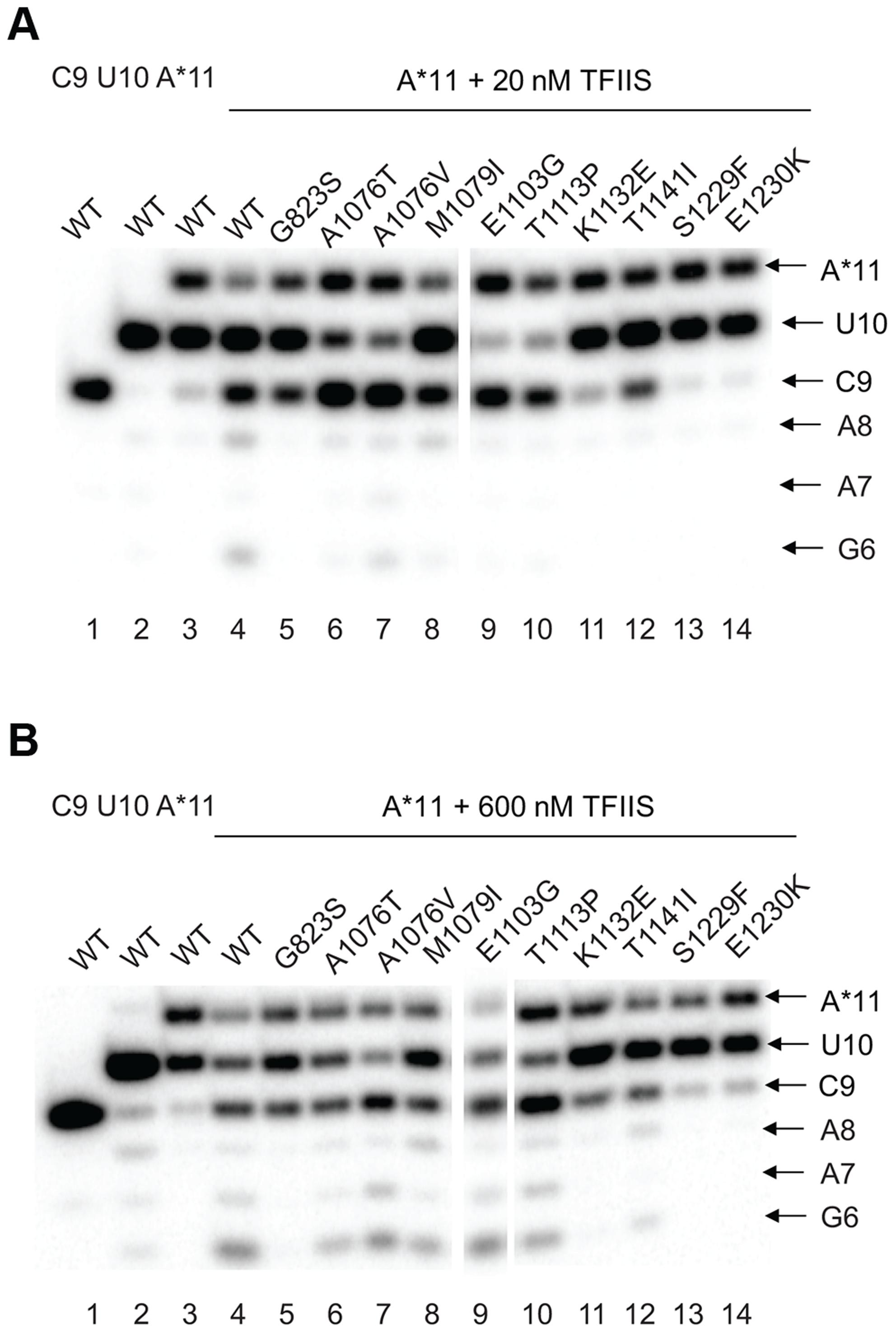 <i>rpb1</i> mutations decreasing transcription fidelity <i>in vivo</i> interfere with TFIIS-dependent error editing.