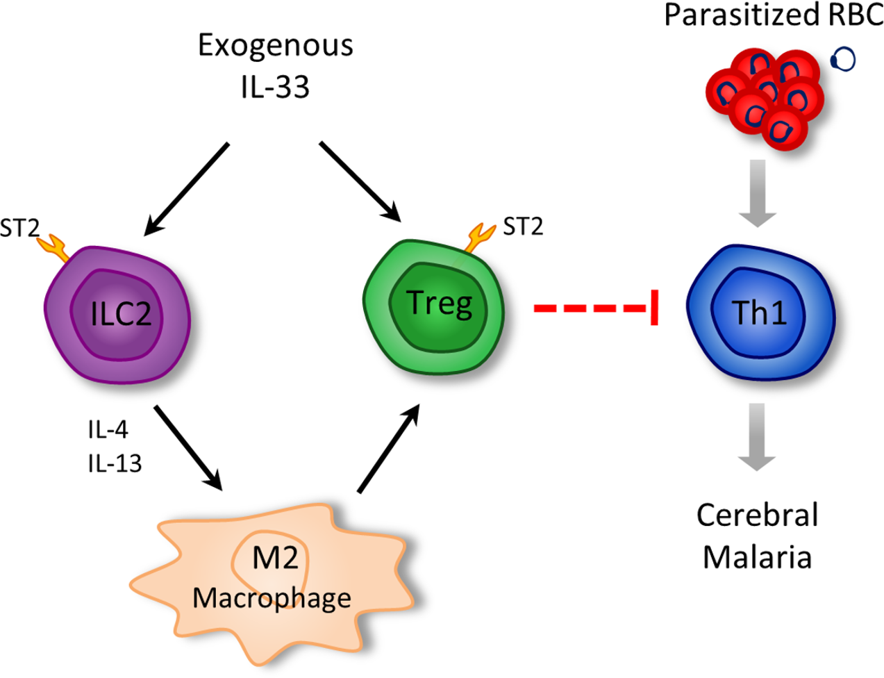 Schematic representation of the pathways by which IL-33 attenuates ECM.