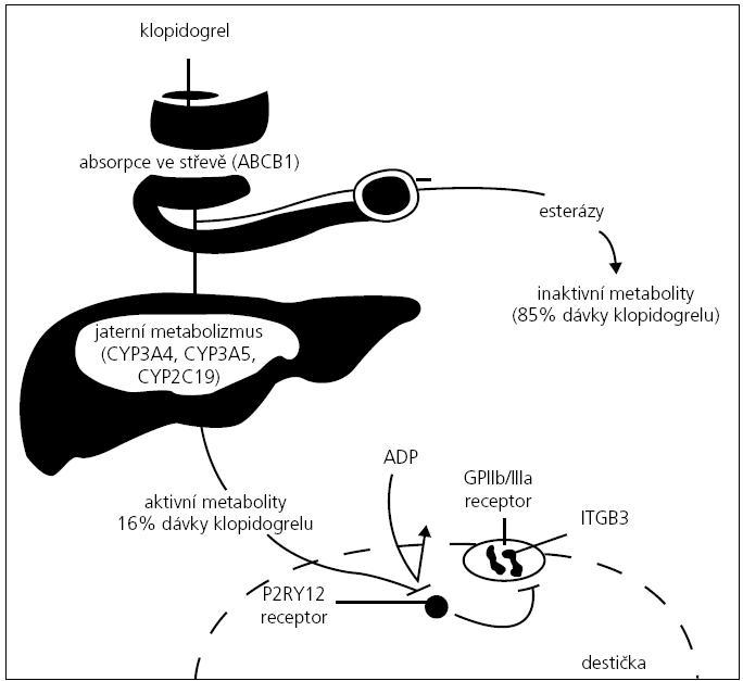 Schéma působení klopidogrelu.