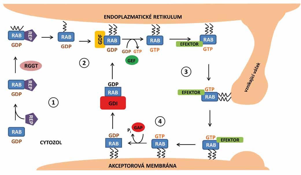 Cyklus proteinů Rab v buňce. 1. Nově syntetizovaný protein Rab a průběh prenylace. 2. Odstranění disociačního inhibitoru, aktivace Rab a jeho připojení na membránu. 3. Zapojení jednotlivých regulačních molekul a efektorů, vznik, navedení a transport vezikulu k akceptorové membráně. 4. Hydrolýza GTP a deaktivace Rab proteinu.