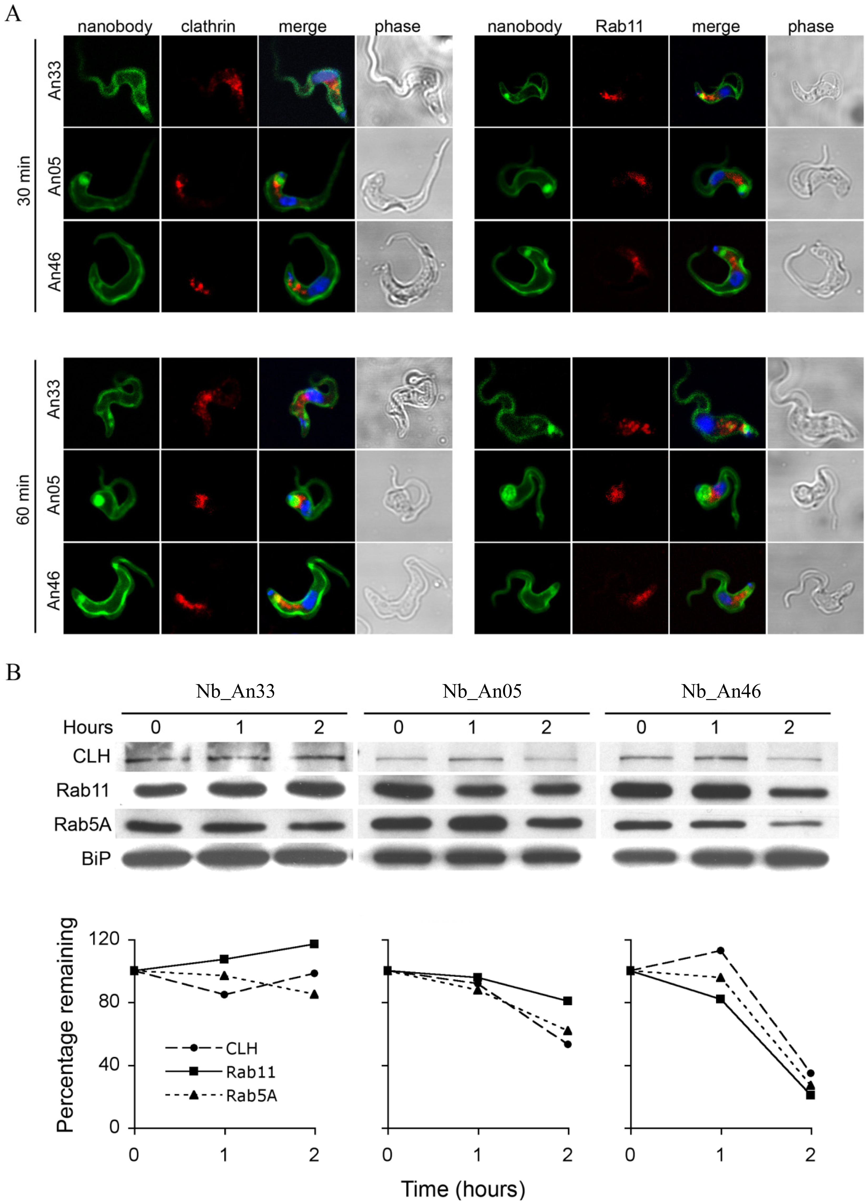 Localization and modulation in expression of endocytic and recycling markers during Nb-induced trypanolysis.
