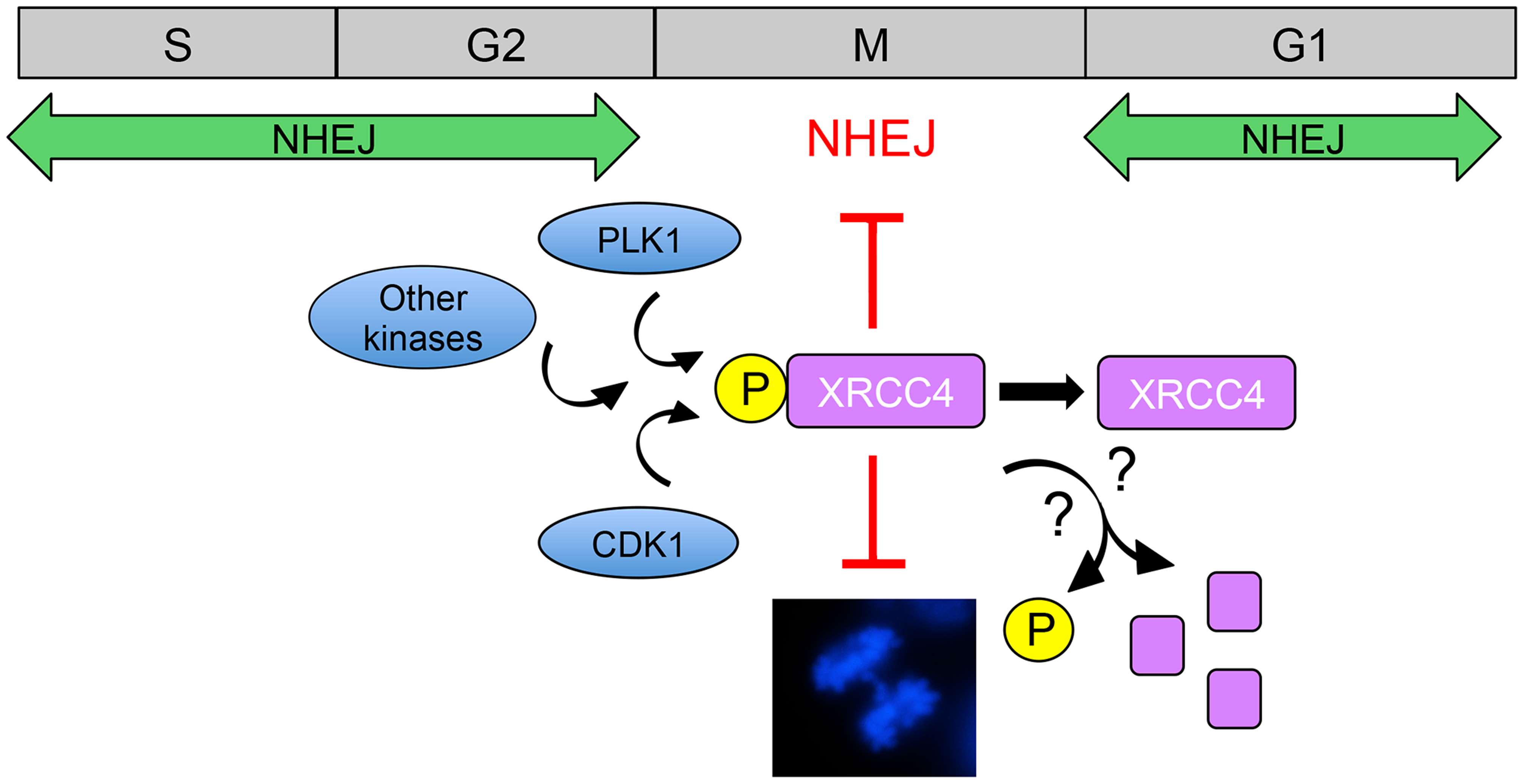 Model for suppression of NHEJ in mitosis by phosphorylated XRCC4.