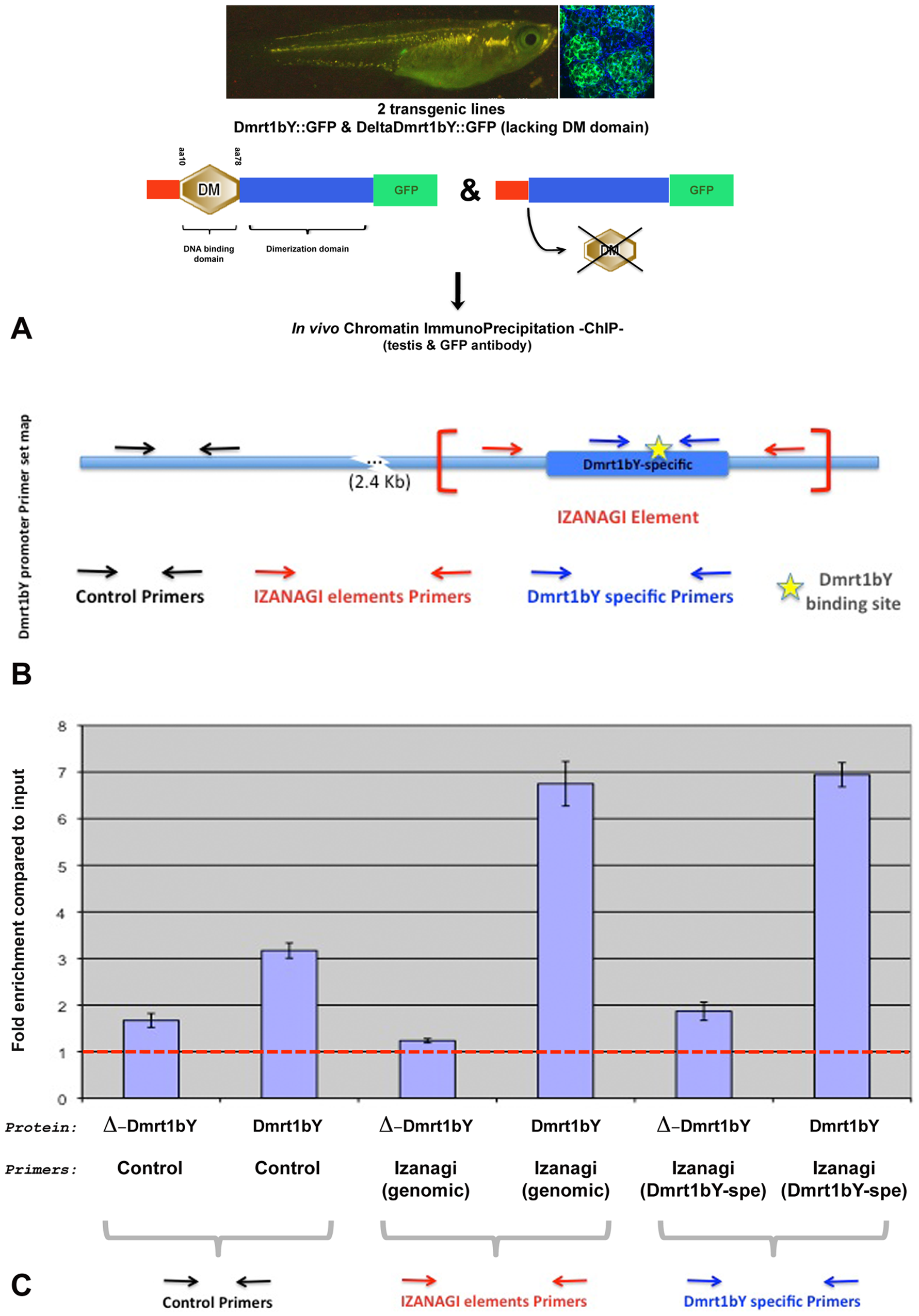 Tissue Chromatin immunoprecipitation (Tissue–ChIP) of Dmrt1bY binding to the <i>Izanagi</i> -nested Dmrt1 target site.