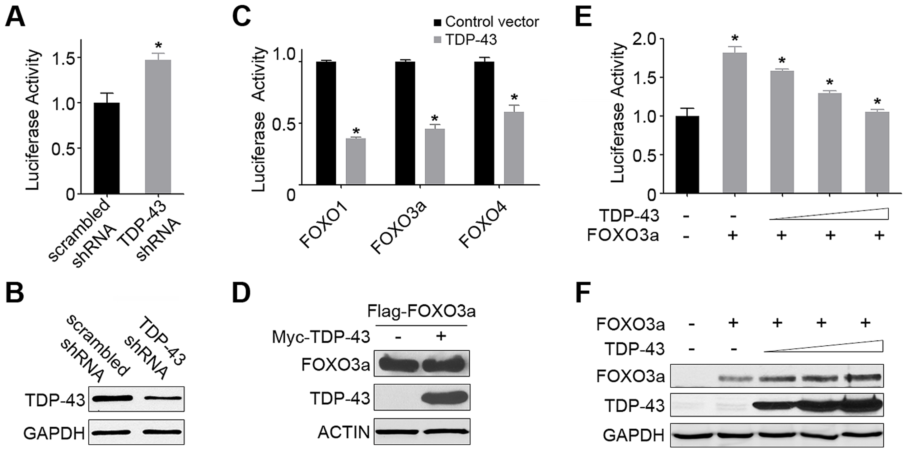 TDP-43 negatively regulates the transcriptional activity of FOXOs in mammalian cells.