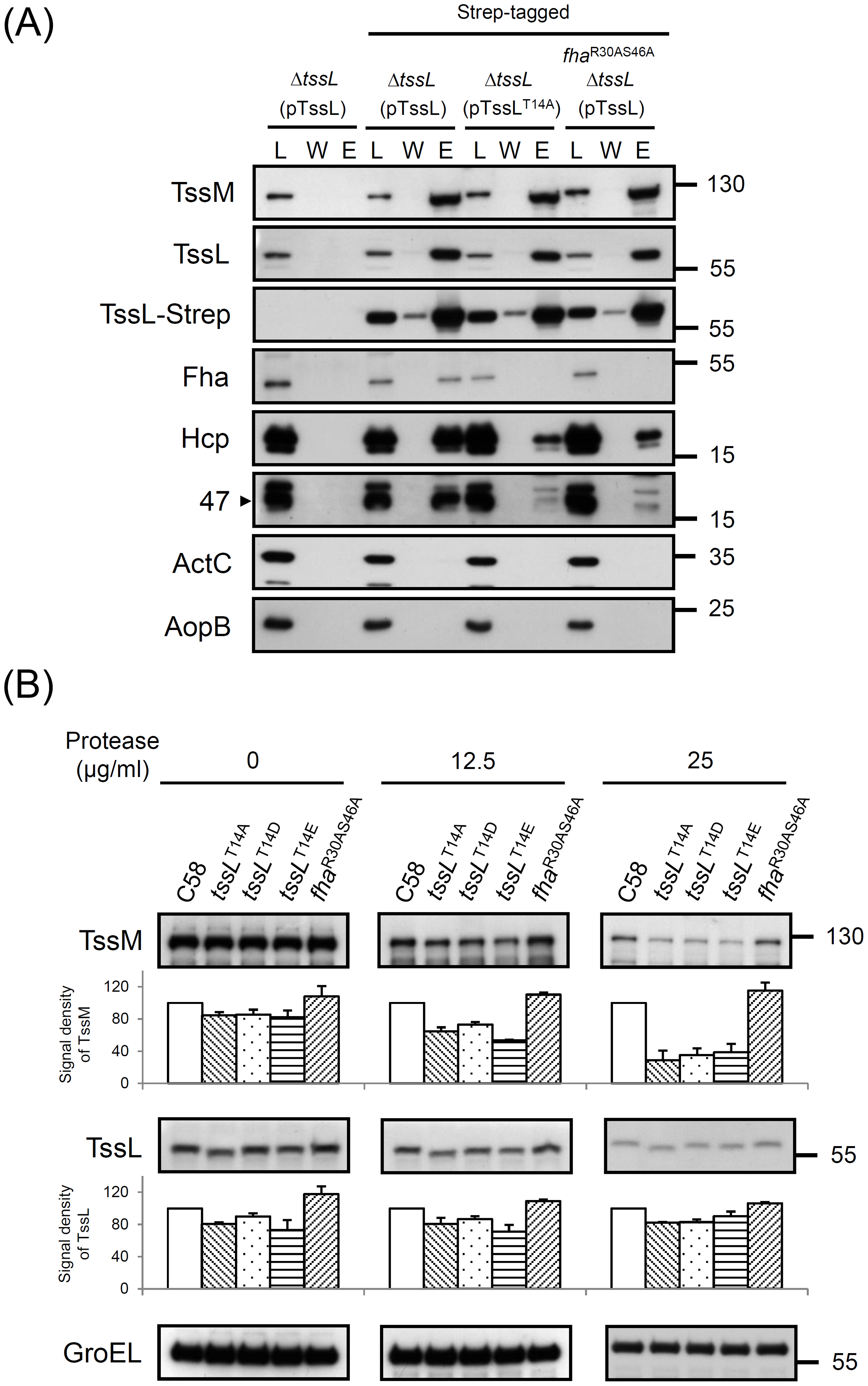 TssL-Strep pulldown and spheroplast protease susceptibility assays in <i>A. tumefaciens</i>.