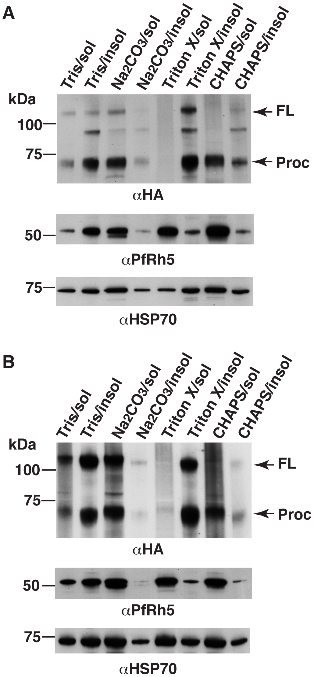 PfRipr and PfRh5 are peripherally associated with parasite membrane.