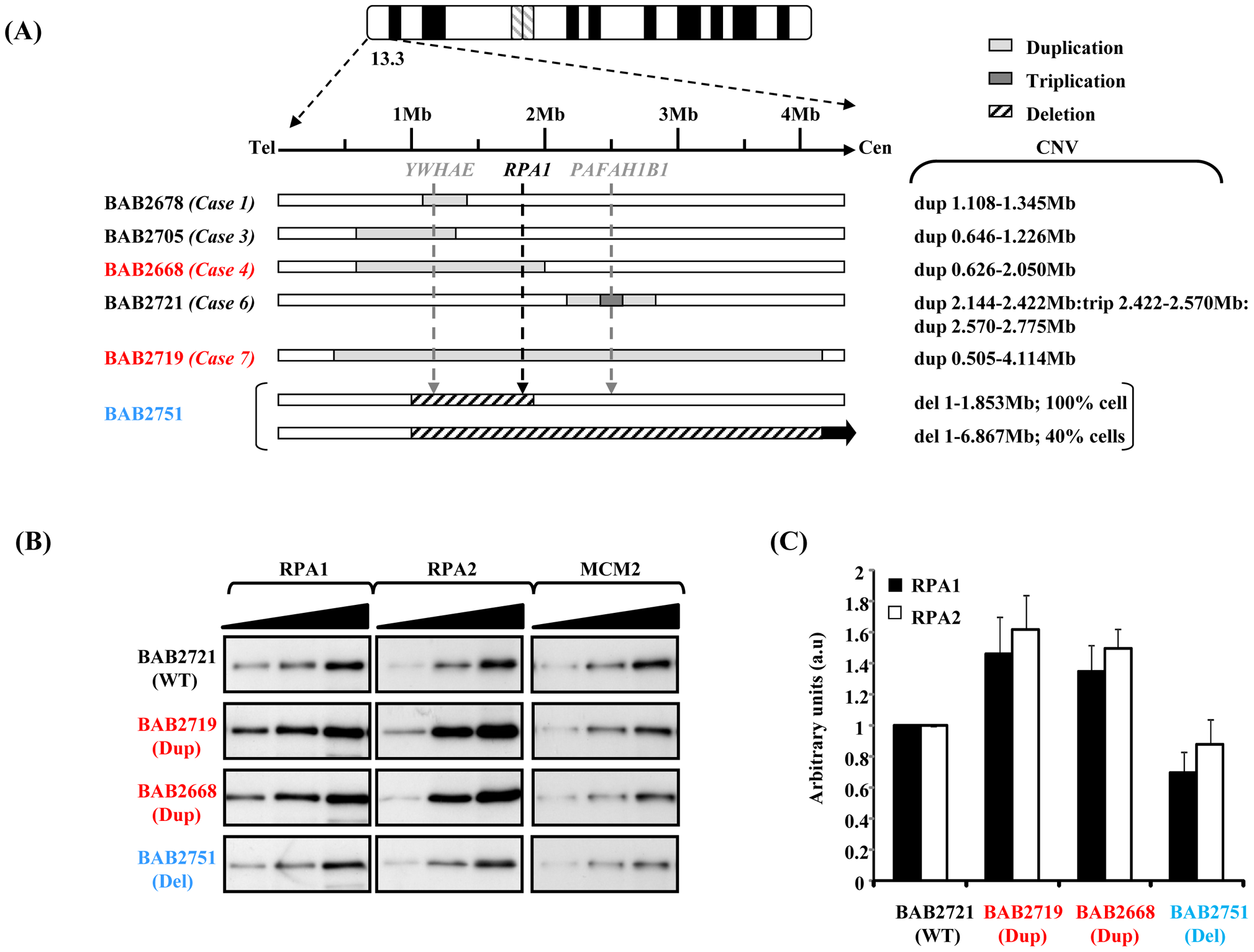 Duplication of <i>RPA1</i> results in RPA1 and RPA2 over-expression.