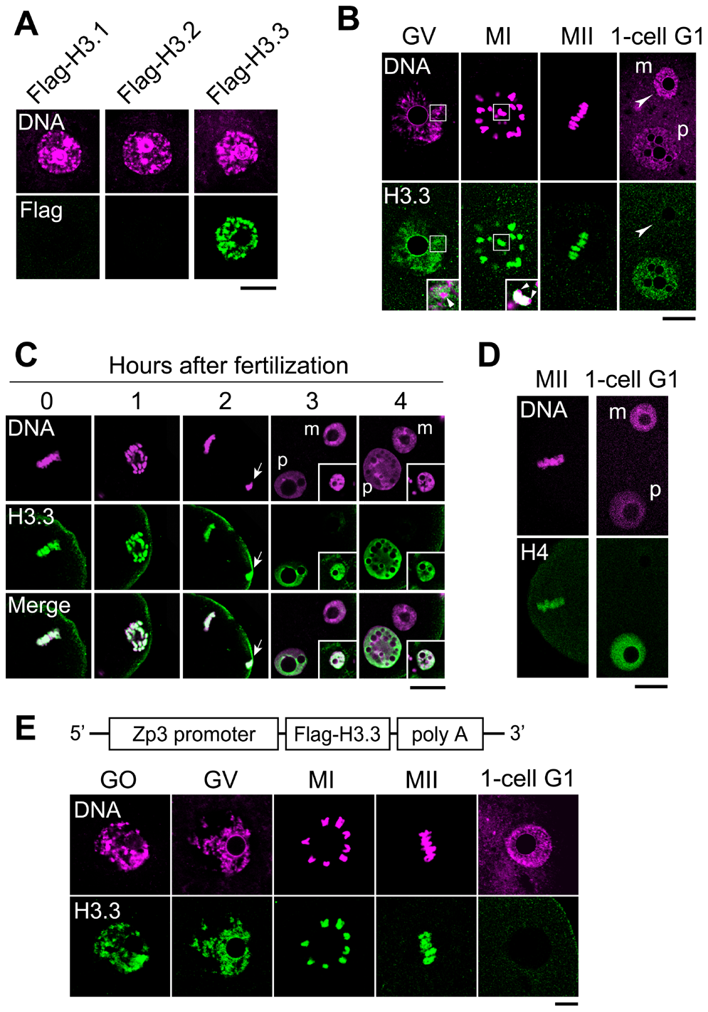 H3.3 disappears from the oocyte genome immediately after fertilization.