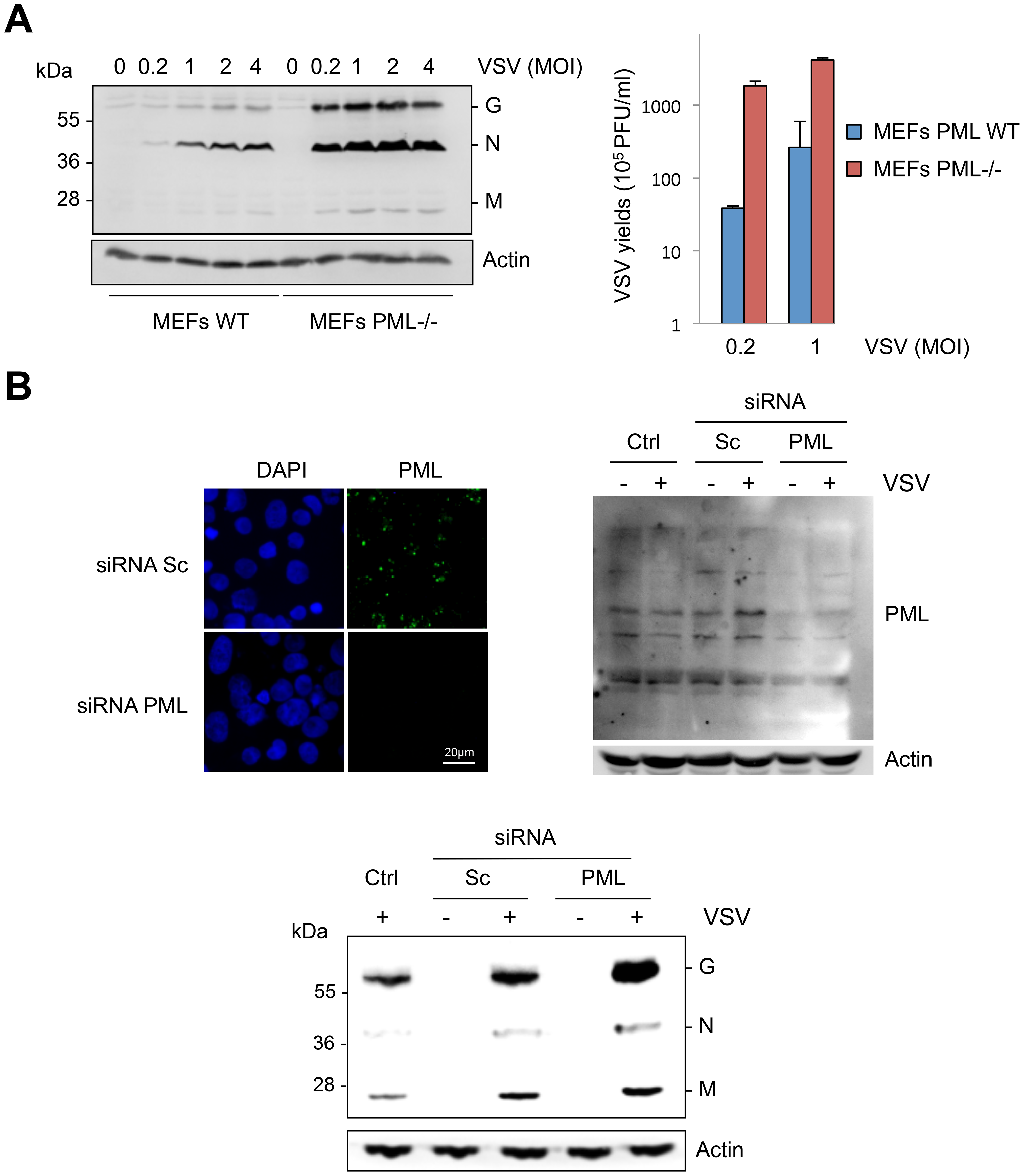 Cells are more susceptible to VSV infection in the absence of PML.