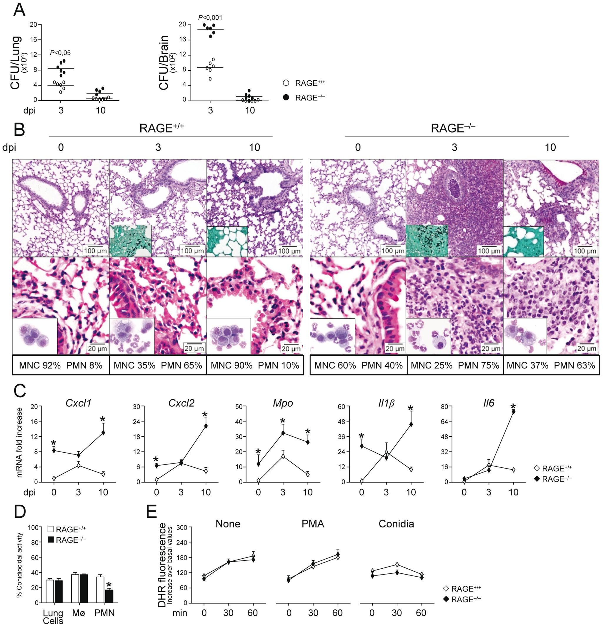 RAGE–deficient mice develop pathogen–induced inflammation.