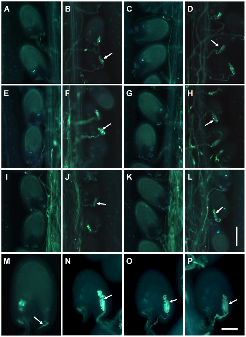 The <i>myb97 myb101 myb120</i> triple mutant pollen tubes did not stop growing and failed to discharge sperm cells into the embryo sacs.