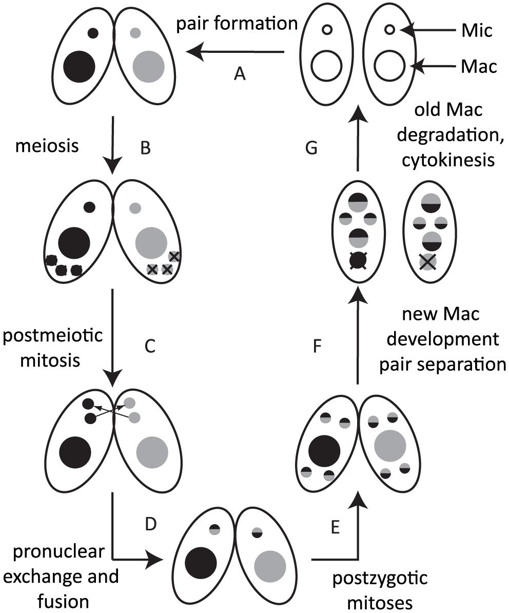 Conjugation of <i>Tetrahymena</i>.