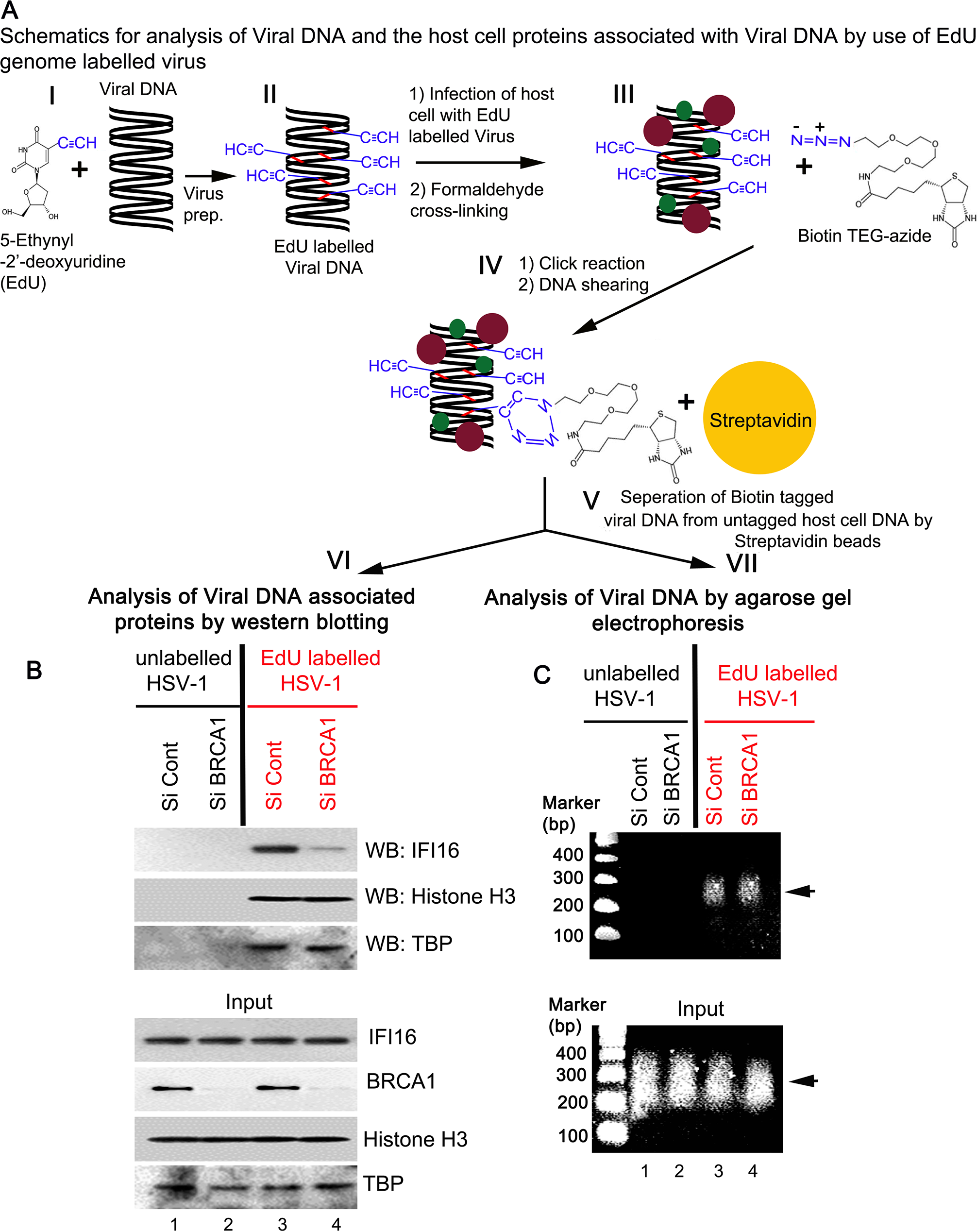 Analysis of viral DNA associated host cell proteins by viral DNA mediated chromatin pull down after <i>de novo</i> infection with EdU genome labeled HSV-1.
