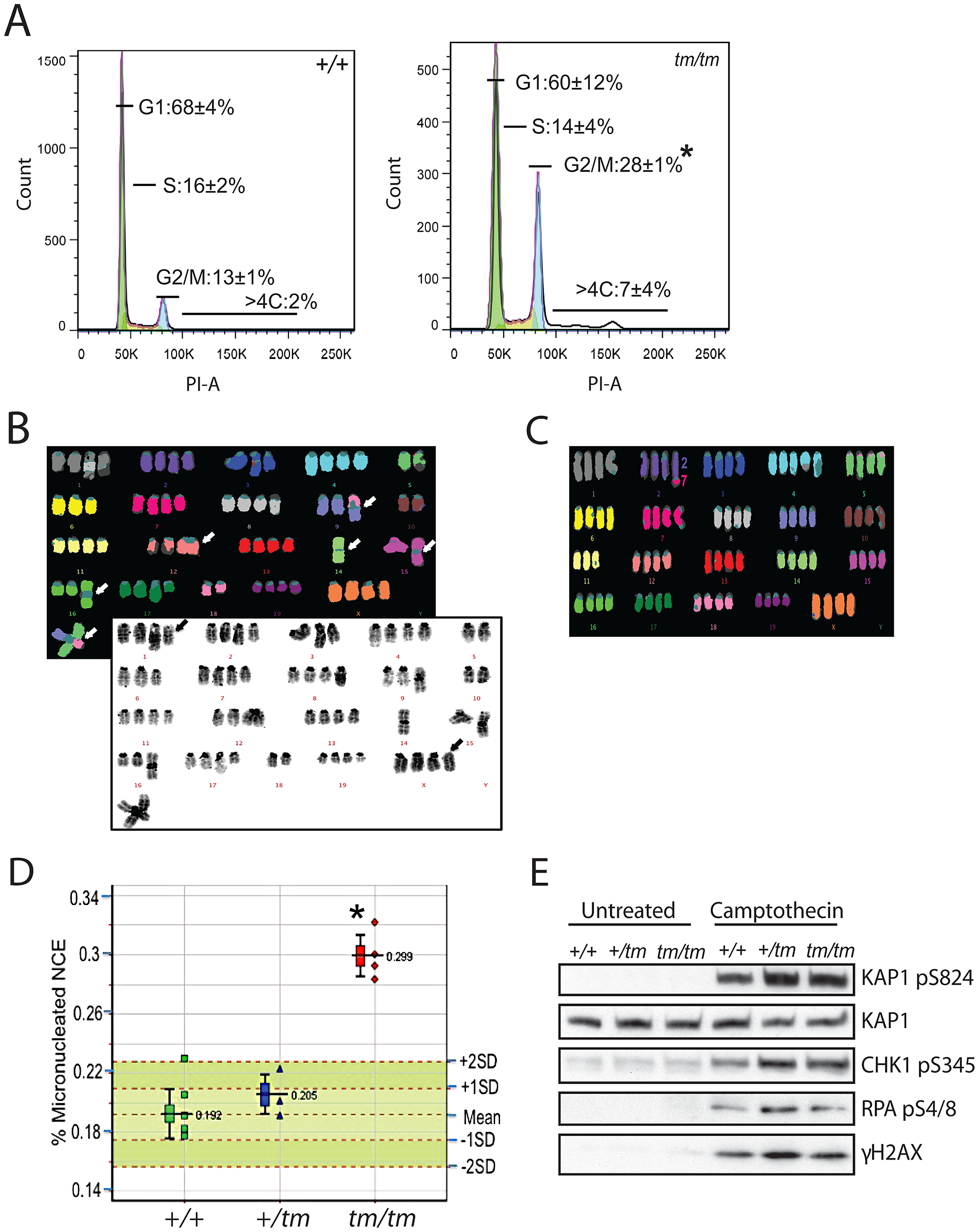 Genomic instability is associated with abnormal ploidy of <i>Cenpj<sup>tm/tm</sup></i> cells rather than an impaired DNA damage response.