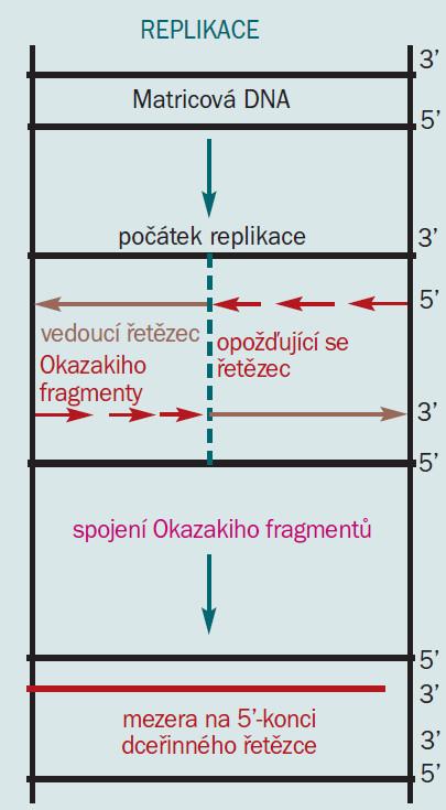 Schéma 2a. Replikace [16].