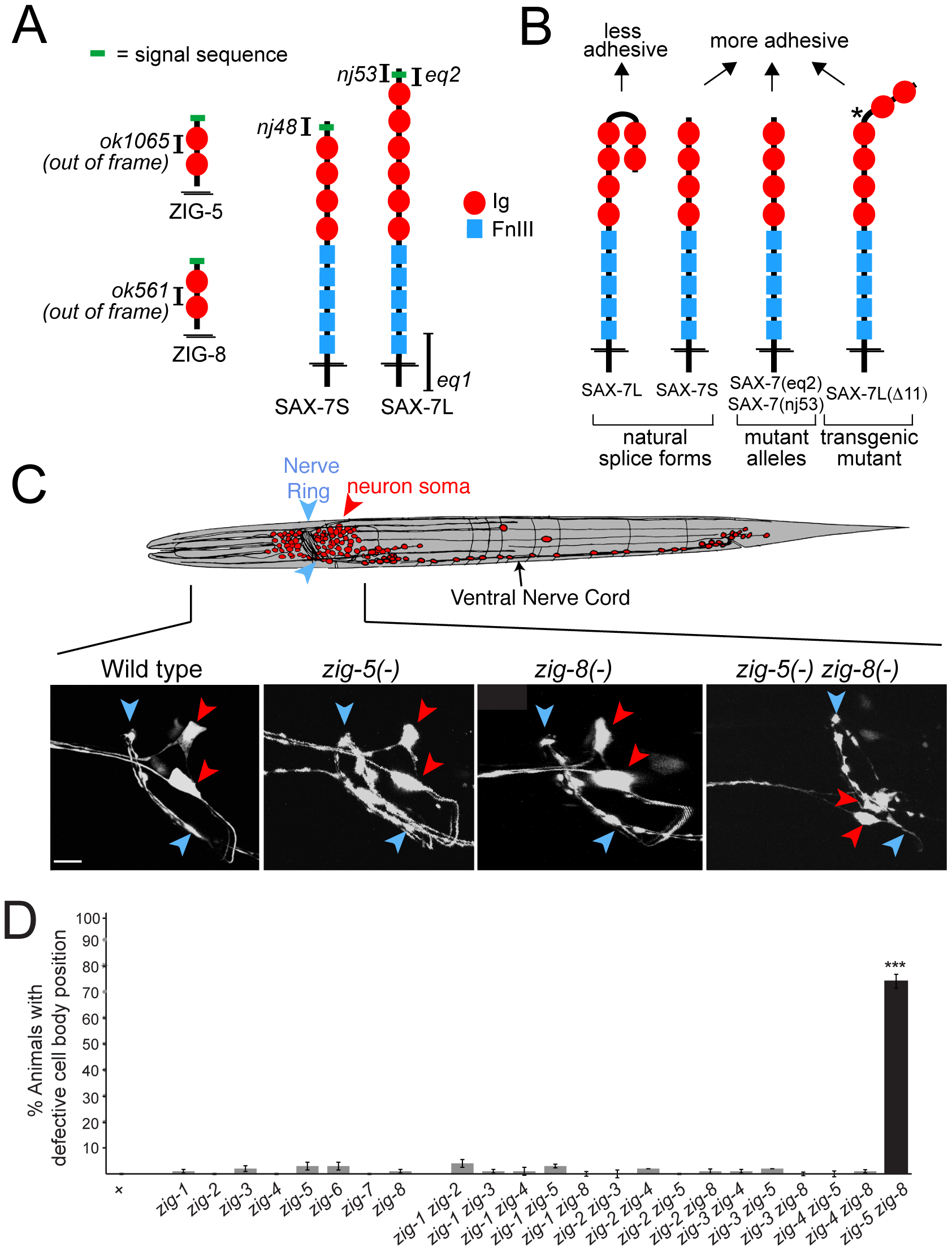 Neuronal maintenance factors and the defects caused by their removal.