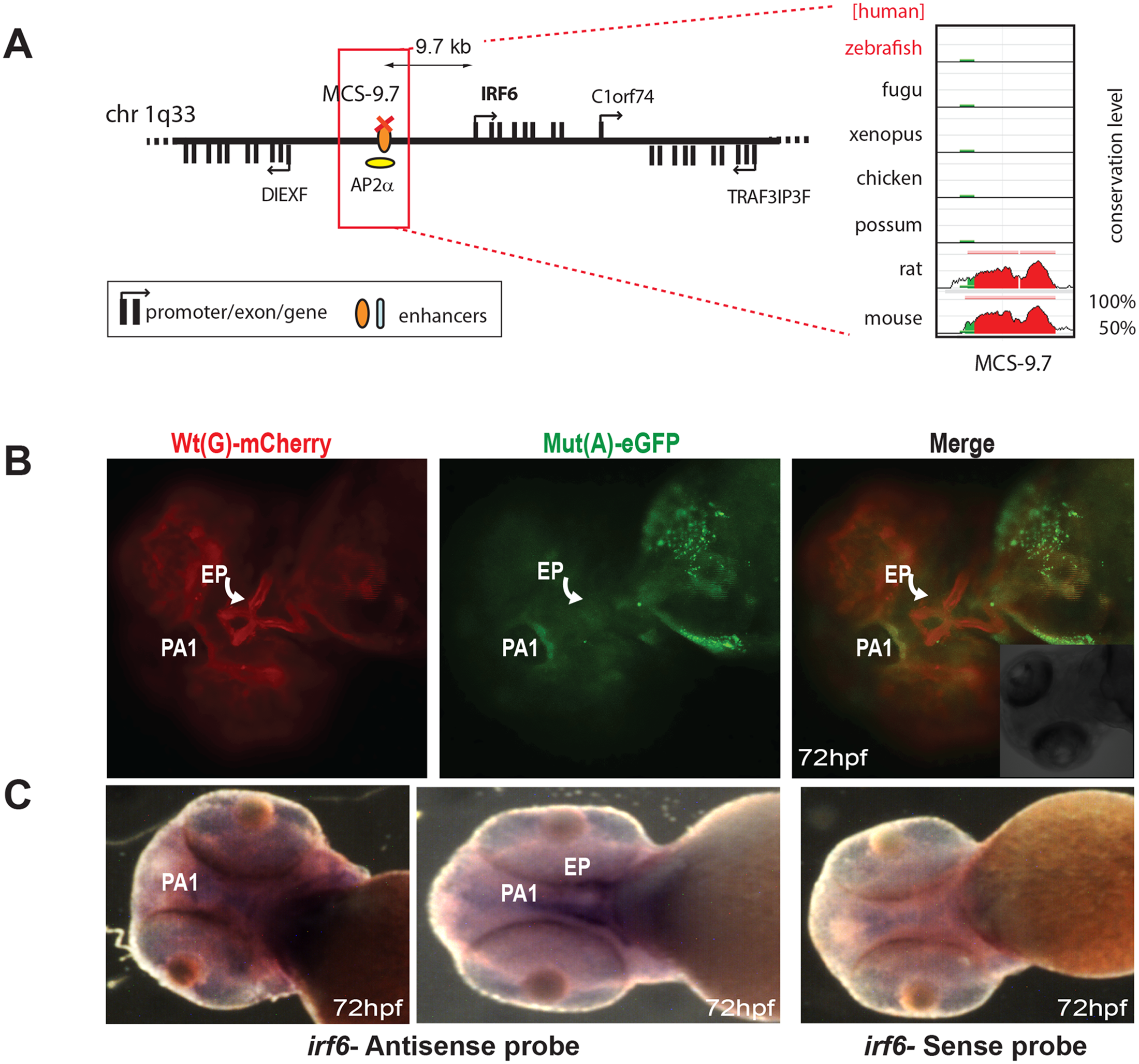 Dual-fluorescence transgenic analysis of IRF6 enhancer MCS-9.7 where a SNP (rs642961, G>A) in a TFAP2A (AP2α) binding site has been associated with cleft lip.