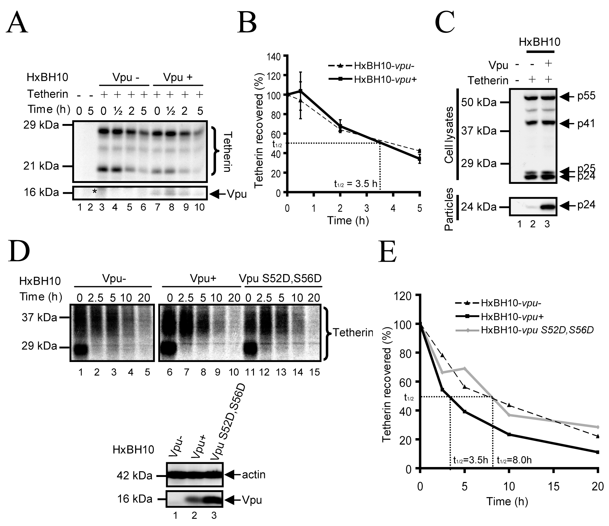 Analysis of the turnover of endogenous and exogenously-expressed Tetherin in the presence of Vpu.